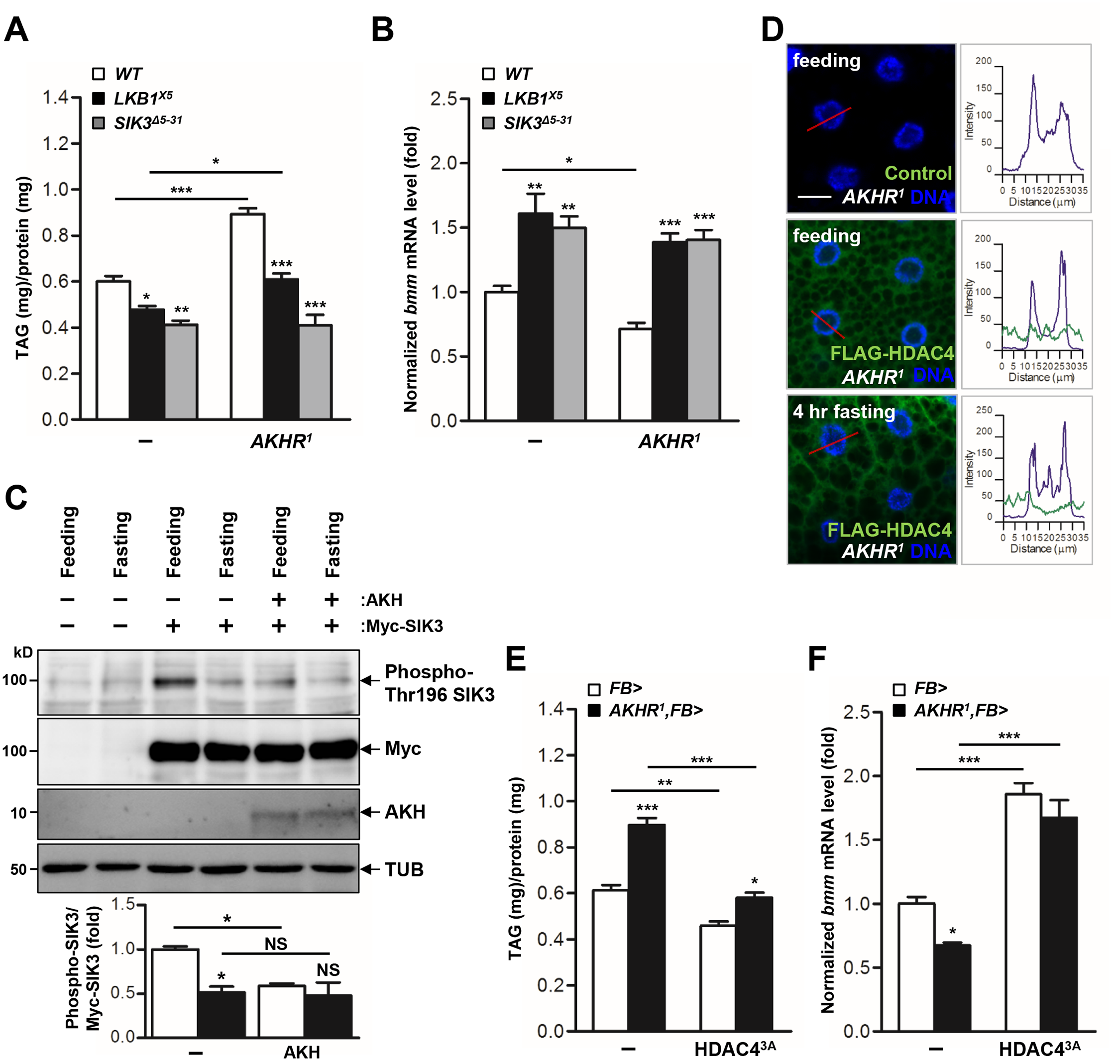 The AKH pathway regulates LKB1-SIK3-HDAC4 signaling to control lipid homeostasis.