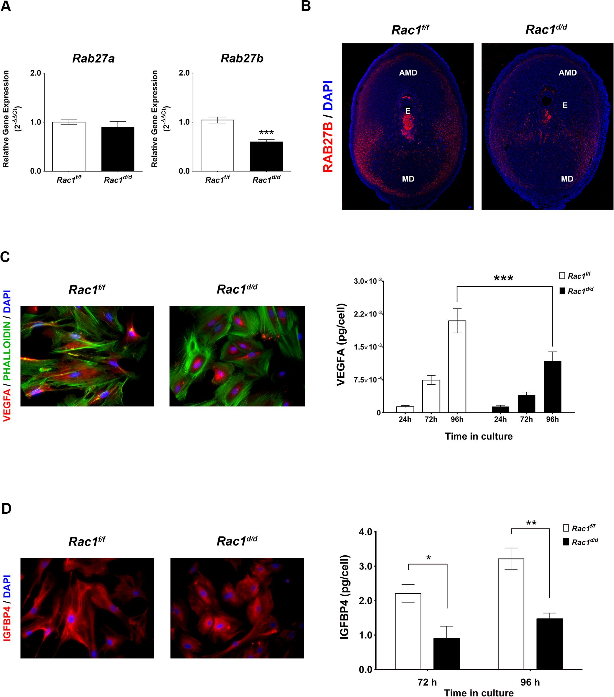 Rac1 regulates vesicular exocytosis in decidual cells by controlling Rab27b.