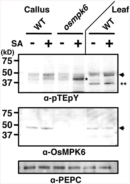 Salicylic acid (SA) induces OsMPK6 phosphorylation.