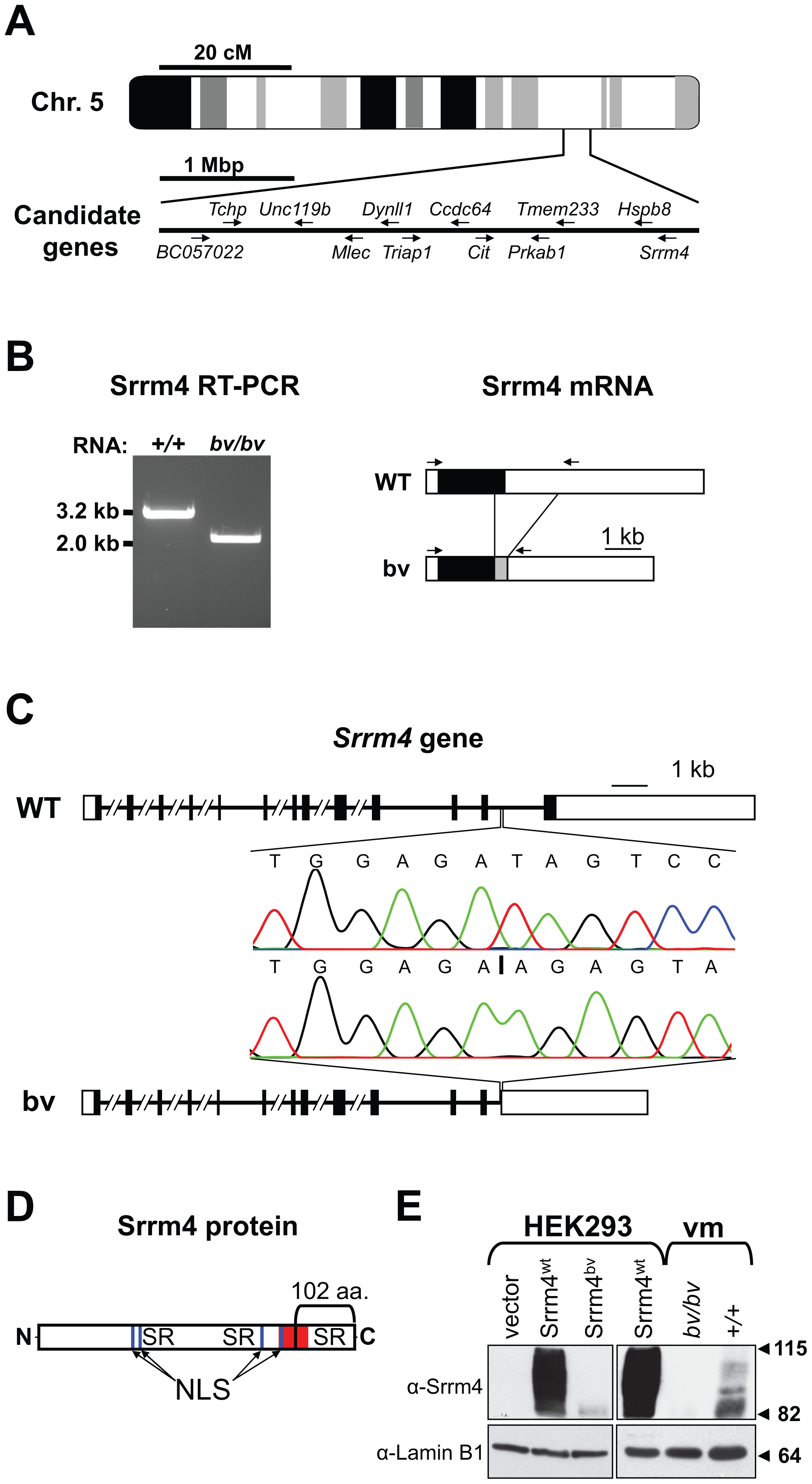 Deletion mutation in the <i>Srrm4</i> gene of bv mice.
