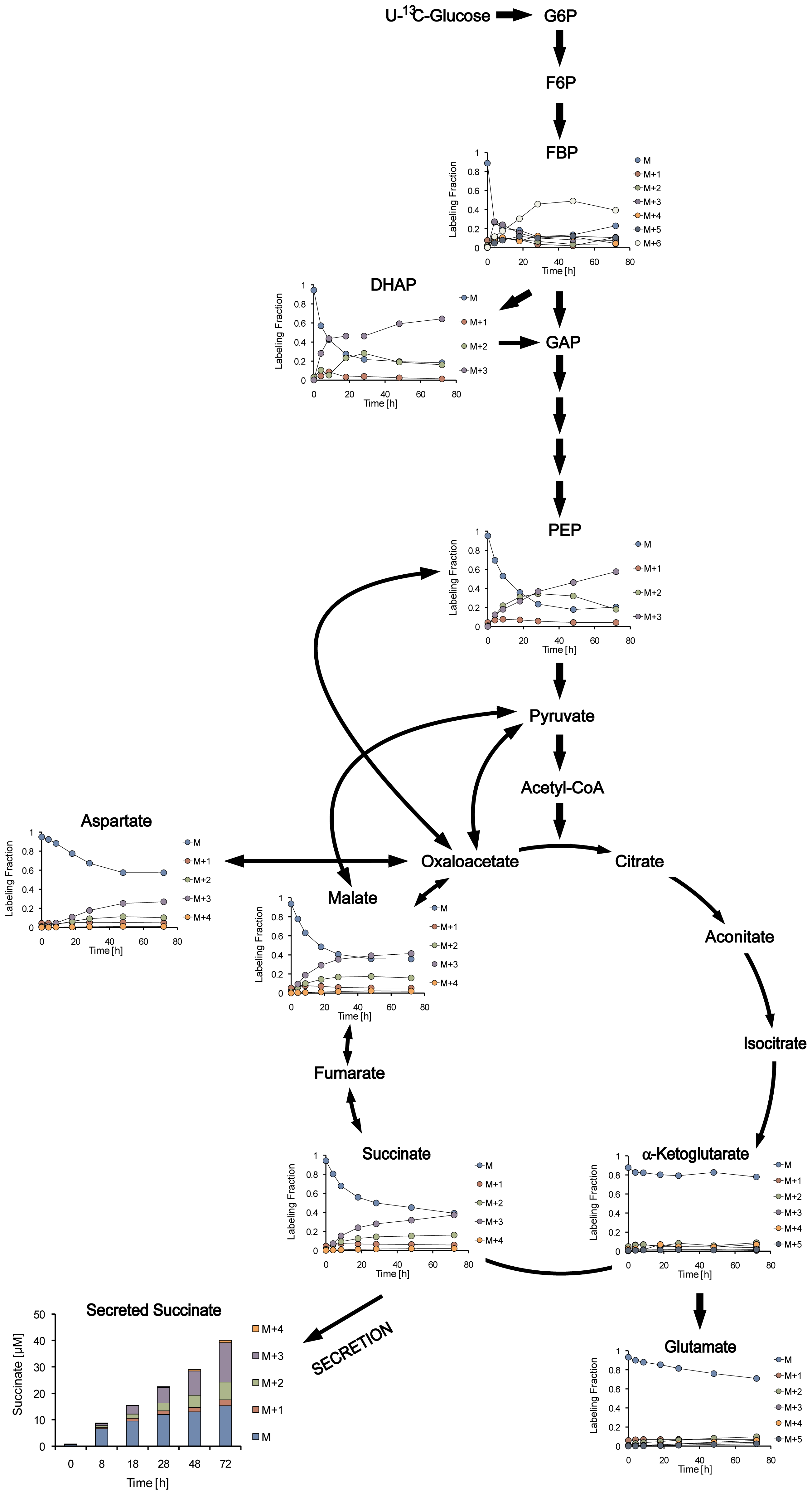 Dynamic isotopic intracellular metabolite measurements in anaerobically persisting cells during metabolism of U-<sup>13</sup>C glucose.