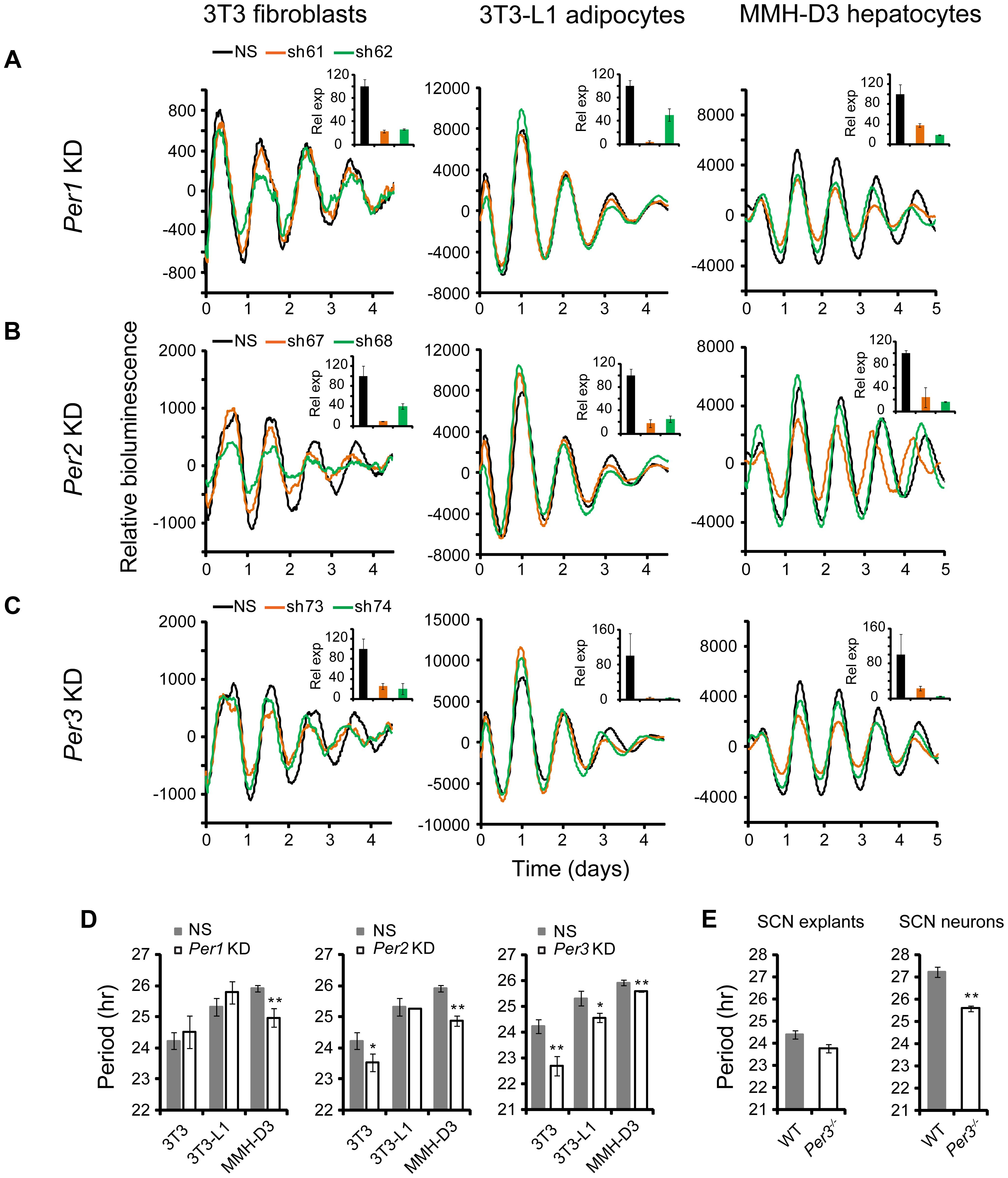 shRNA-mediated knockdowns of <i>Per1</i>, <i>Per2</i> and <i>Per3</i> lead to cell type-specific circadian phenotypes.