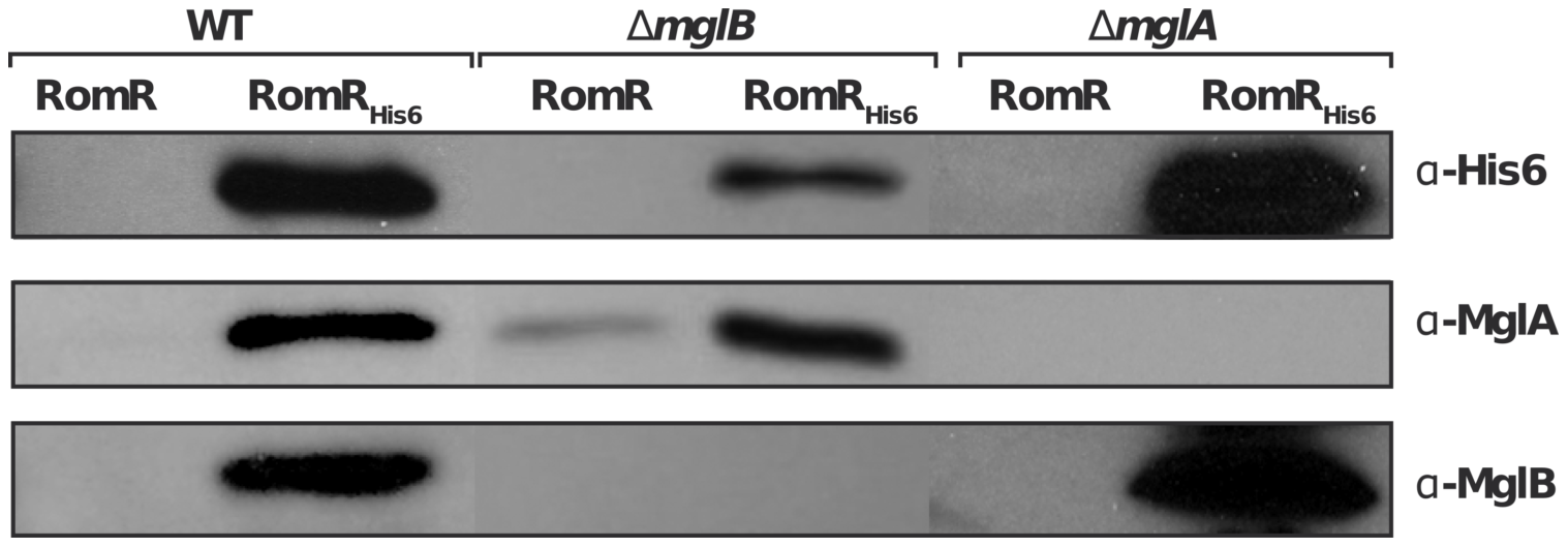 RomR interacts with both MglB and MglA independently.