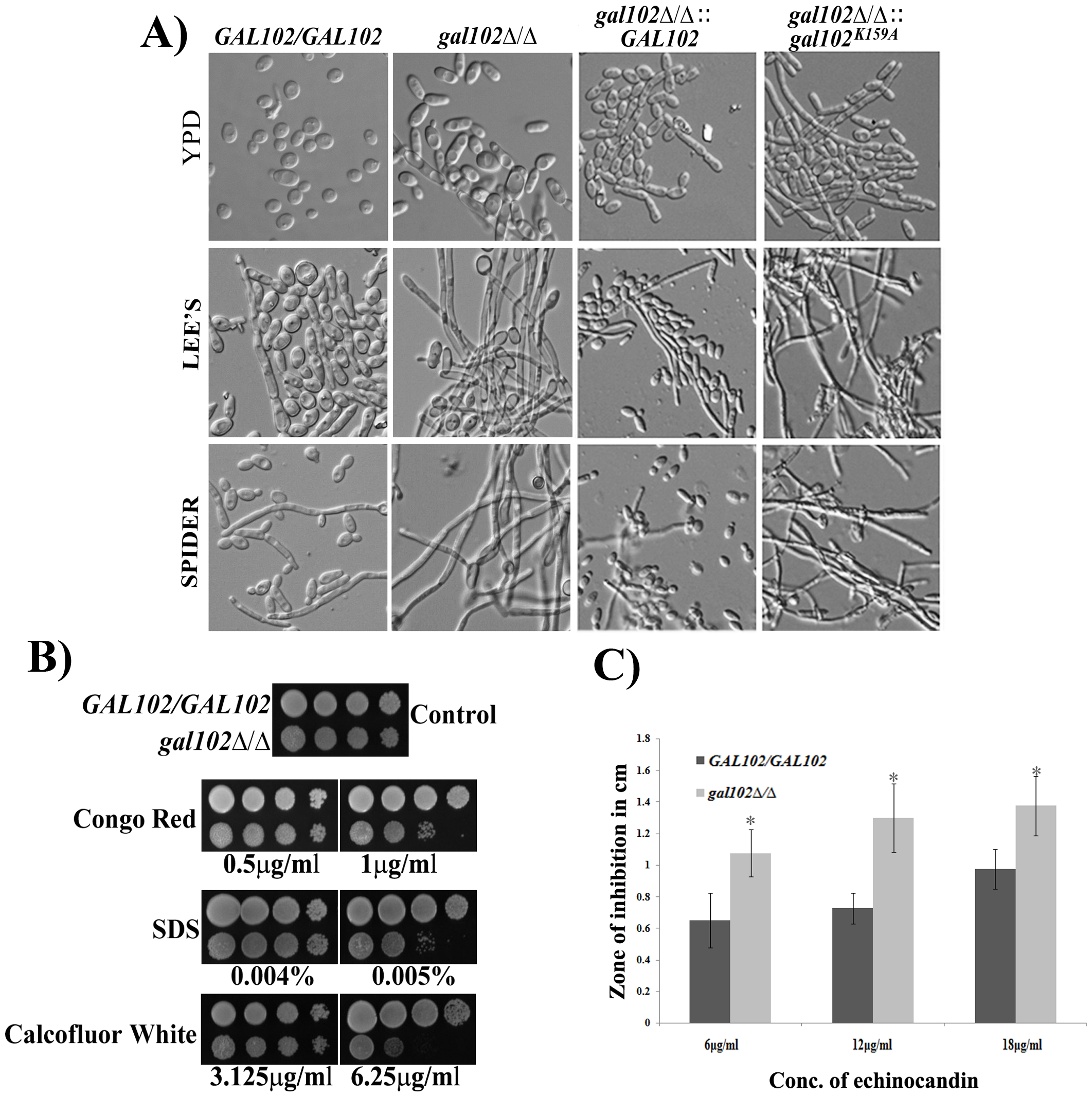 Deletion of <i>GAL102</i> affects cell morphology and cell wall integrity.