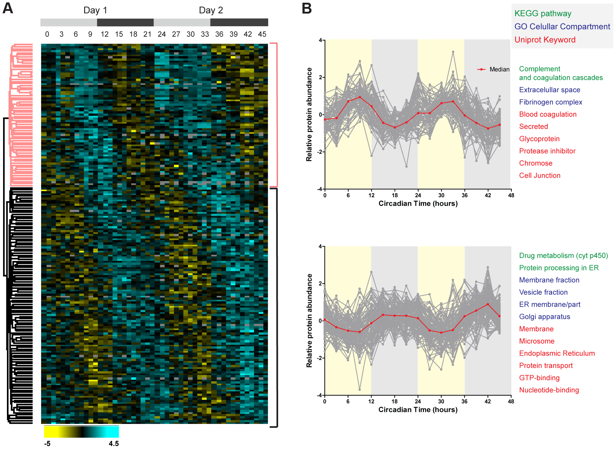 Temporal profile of the mouse liver proteome across two consecutive cycles.