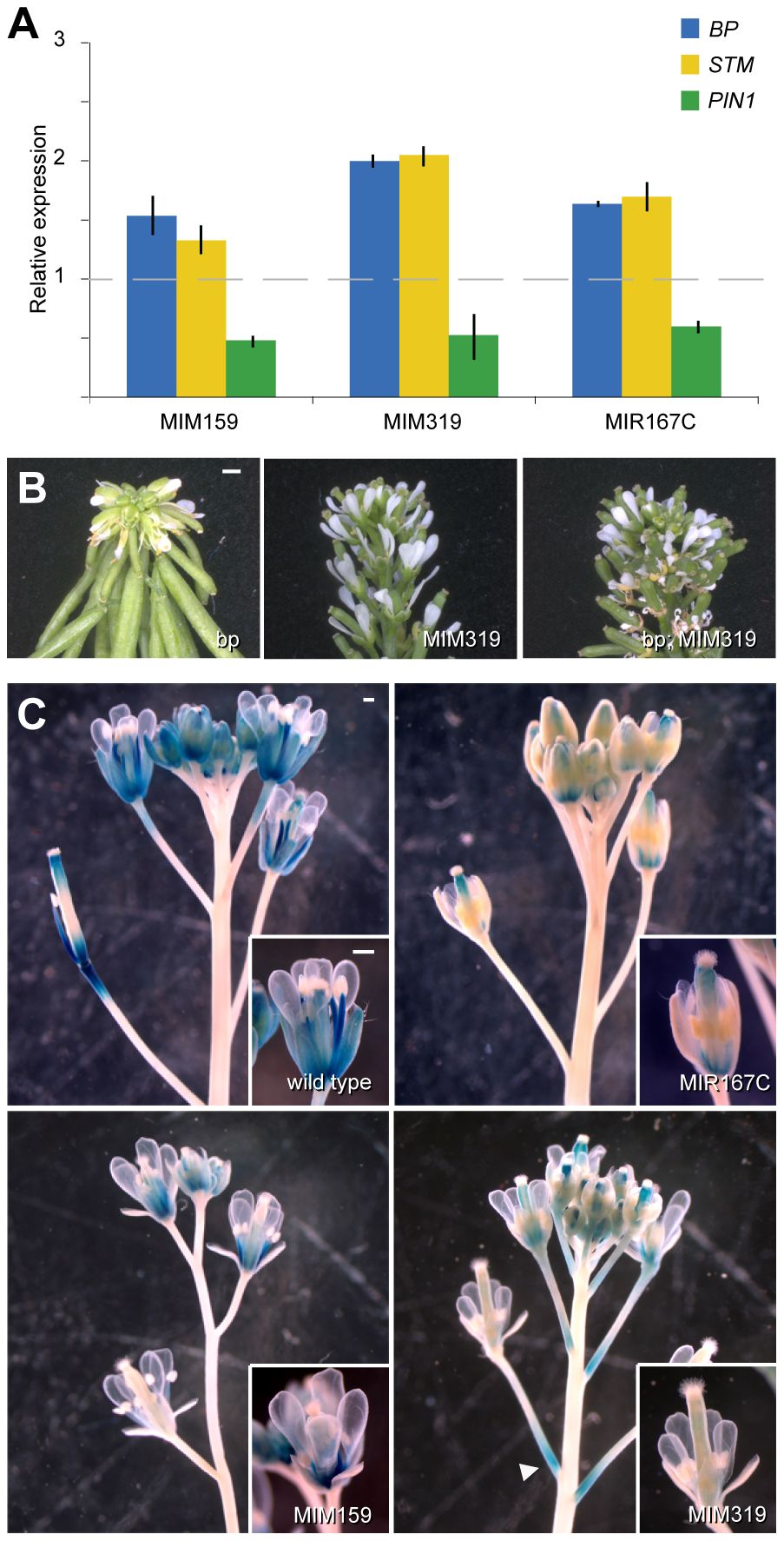 Effects of miRNA mis-regulation on hormone pathways important for flower formation and maturation.
