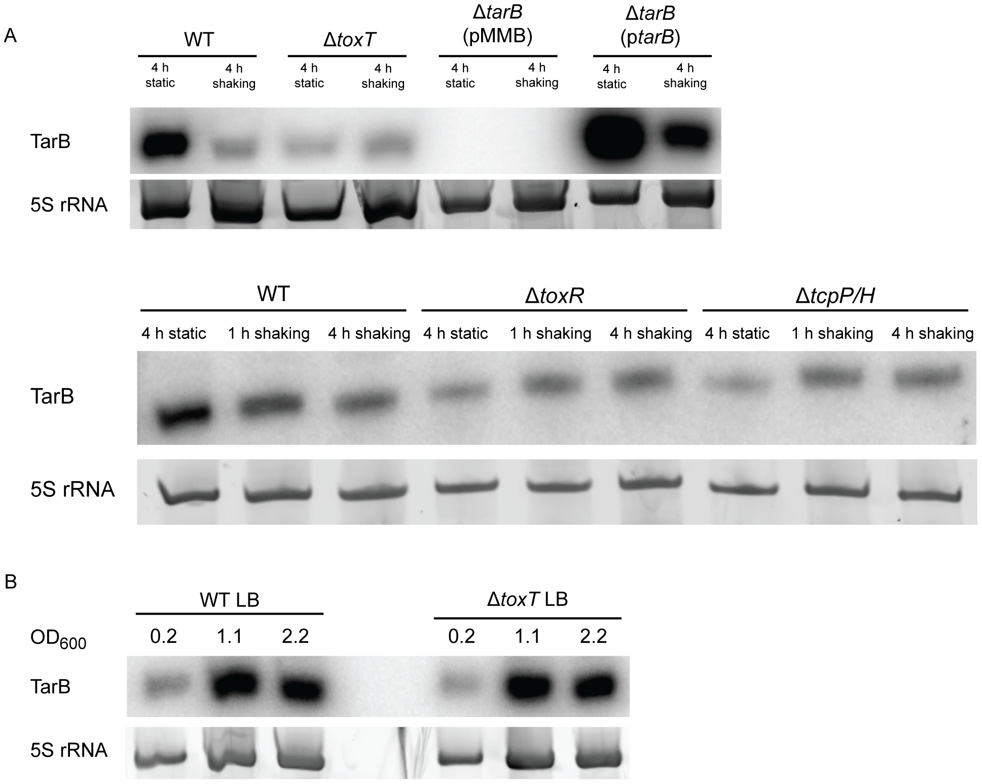 Northern blots of TarB during AKI induction and growth in LB.