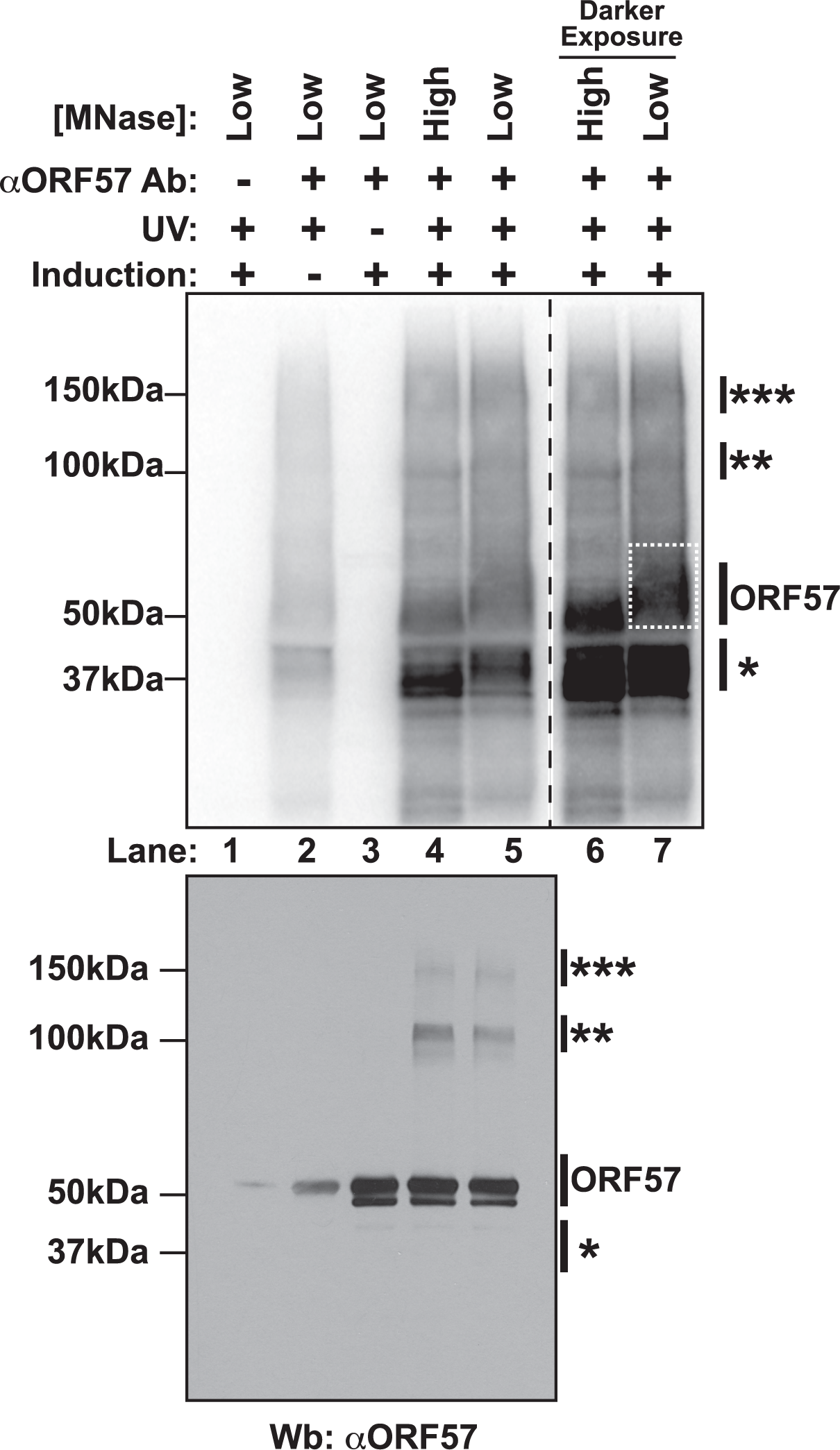 Isolation of cross-linked ORF57-RNA complexes for HITS-CLIP analysis.