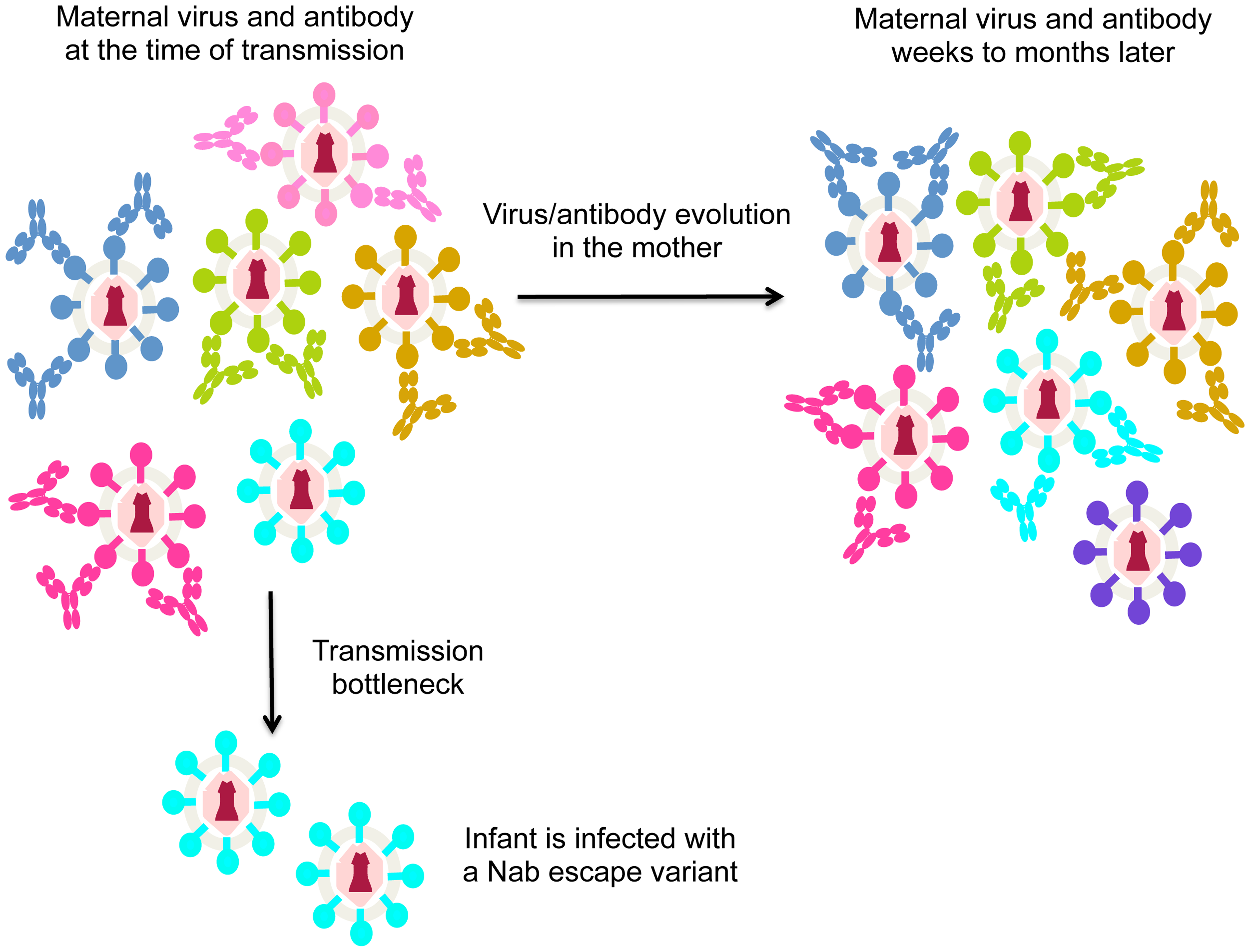 Schematic of virus escape from antibody in MTCT.