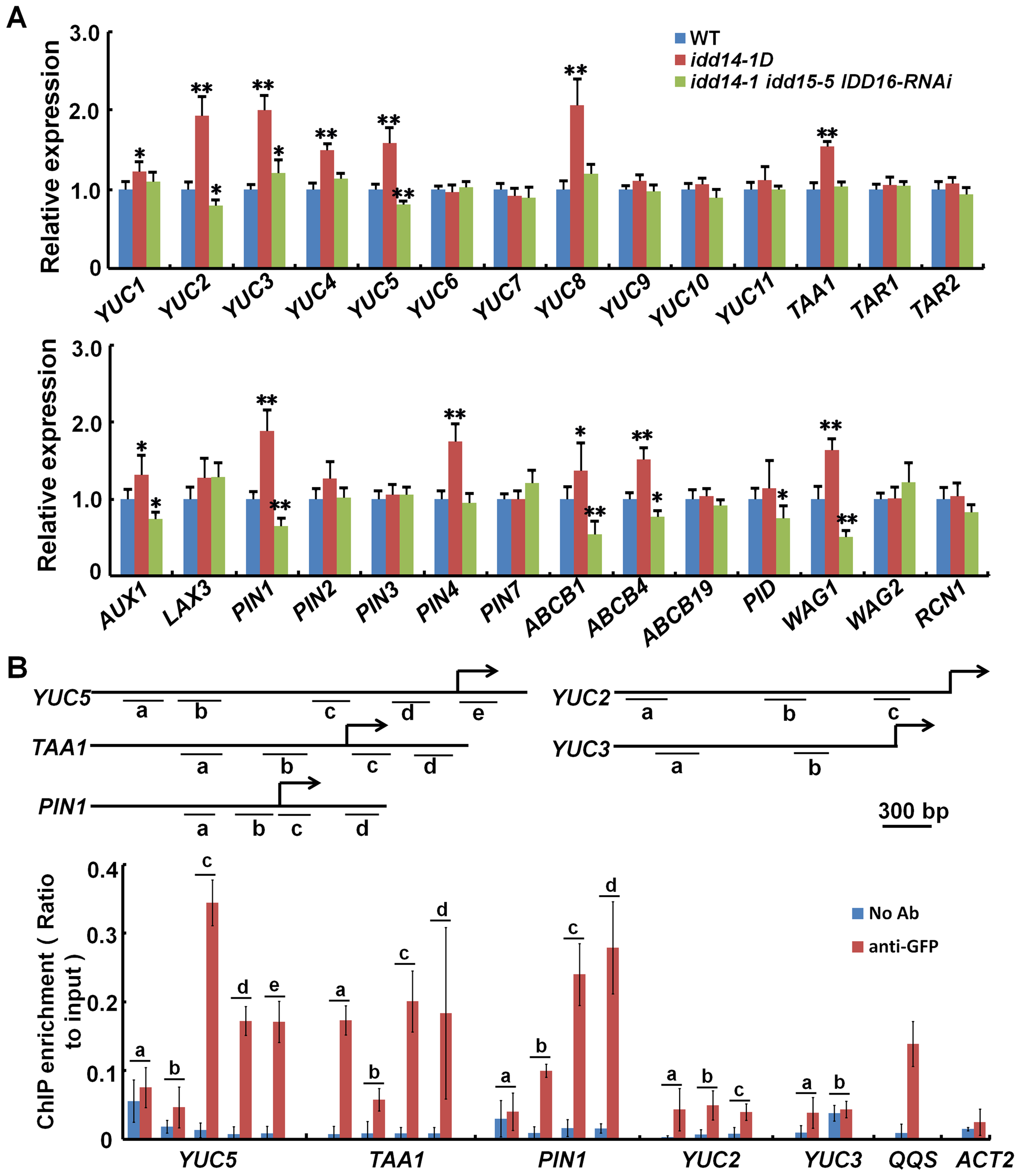 IDD Activates the expression of auxin biosynthetic and transport genes.