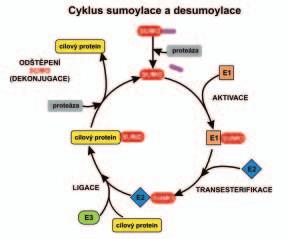 Schéma enzymatické kaskády sumoylace a desumoylace.