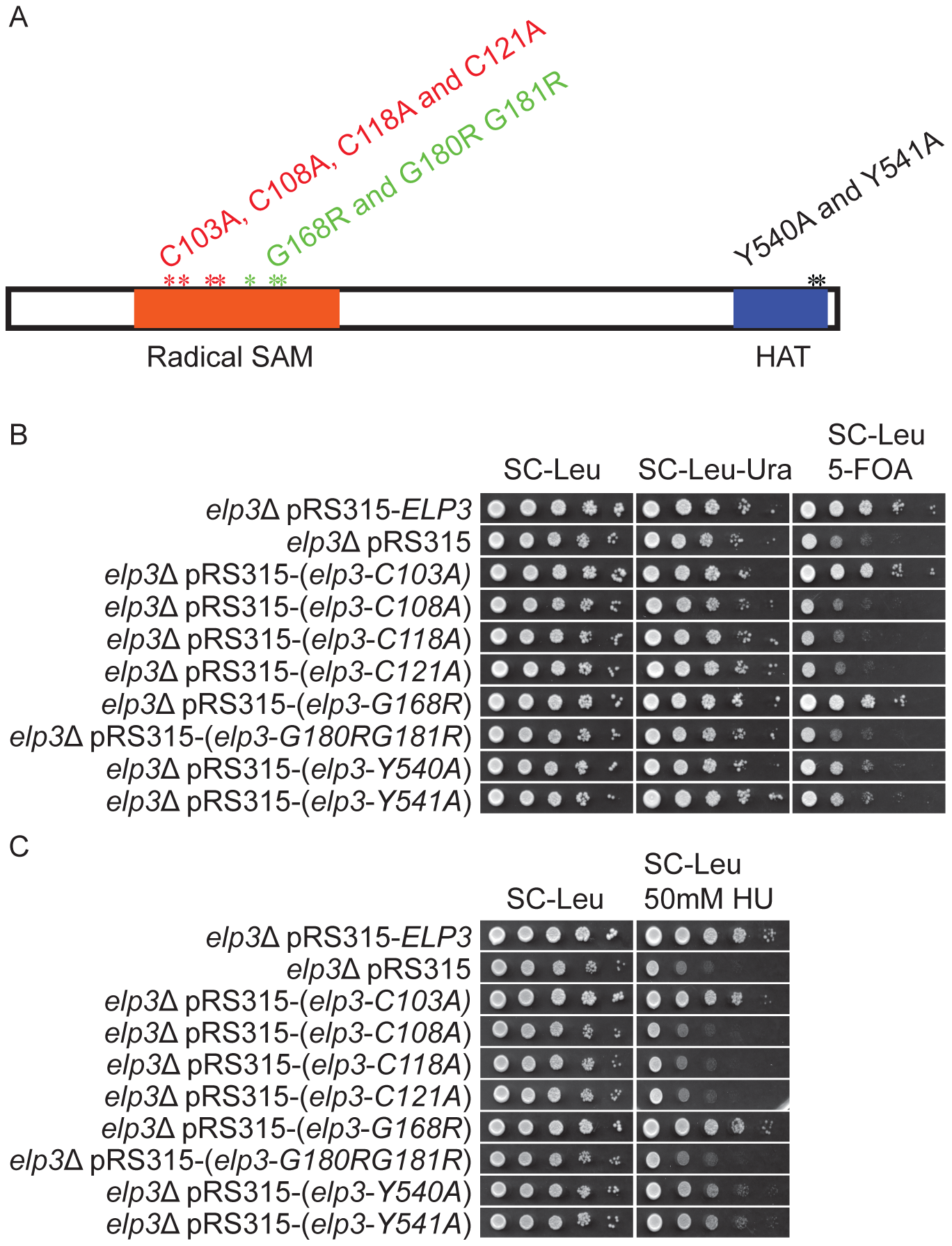 Strains carrying different <i>ELP3</i> mutant alleles show decreased telomeric gene silencing and increased HU sensitivity.
