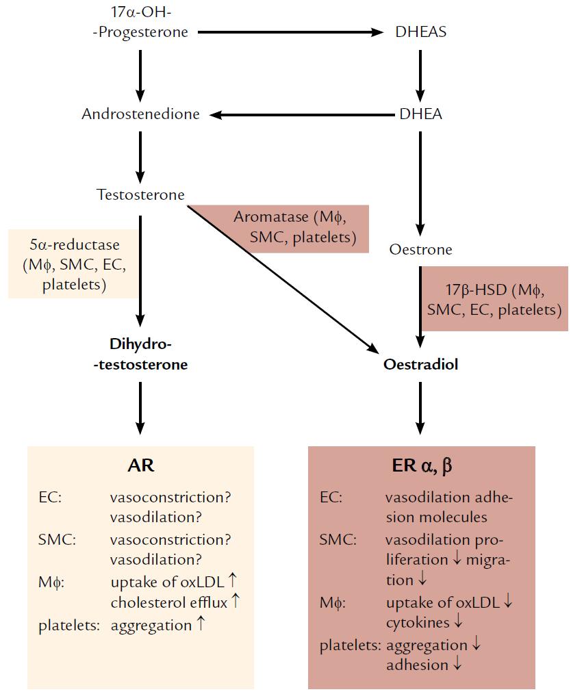 Metabolizmus a pôsobenie pohlavných hormónov na cievne bunky. Upravené podľa [2].