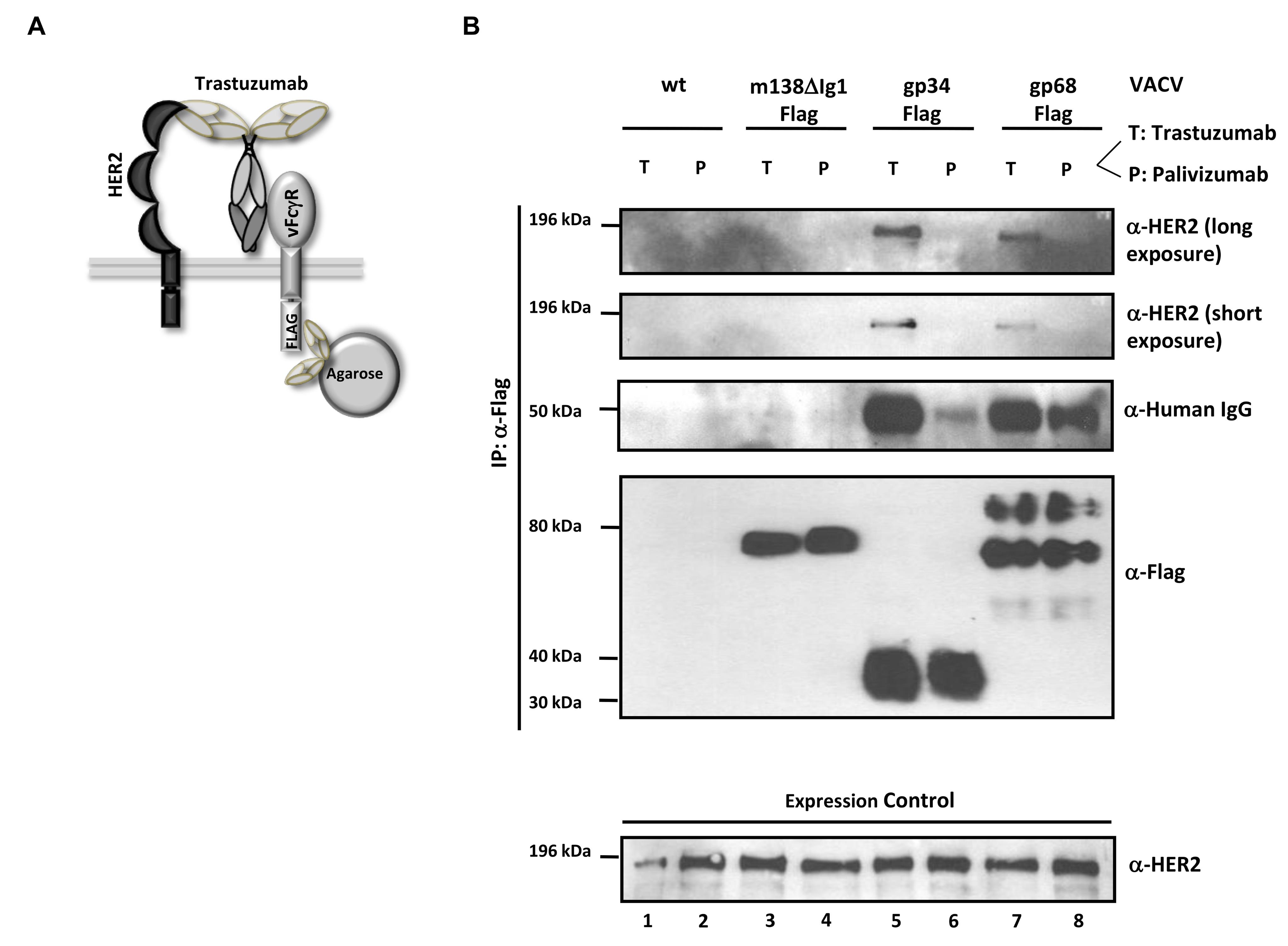 The HCMV vFcγRs gp68 and gp34 bind antigen-IgG complexes.