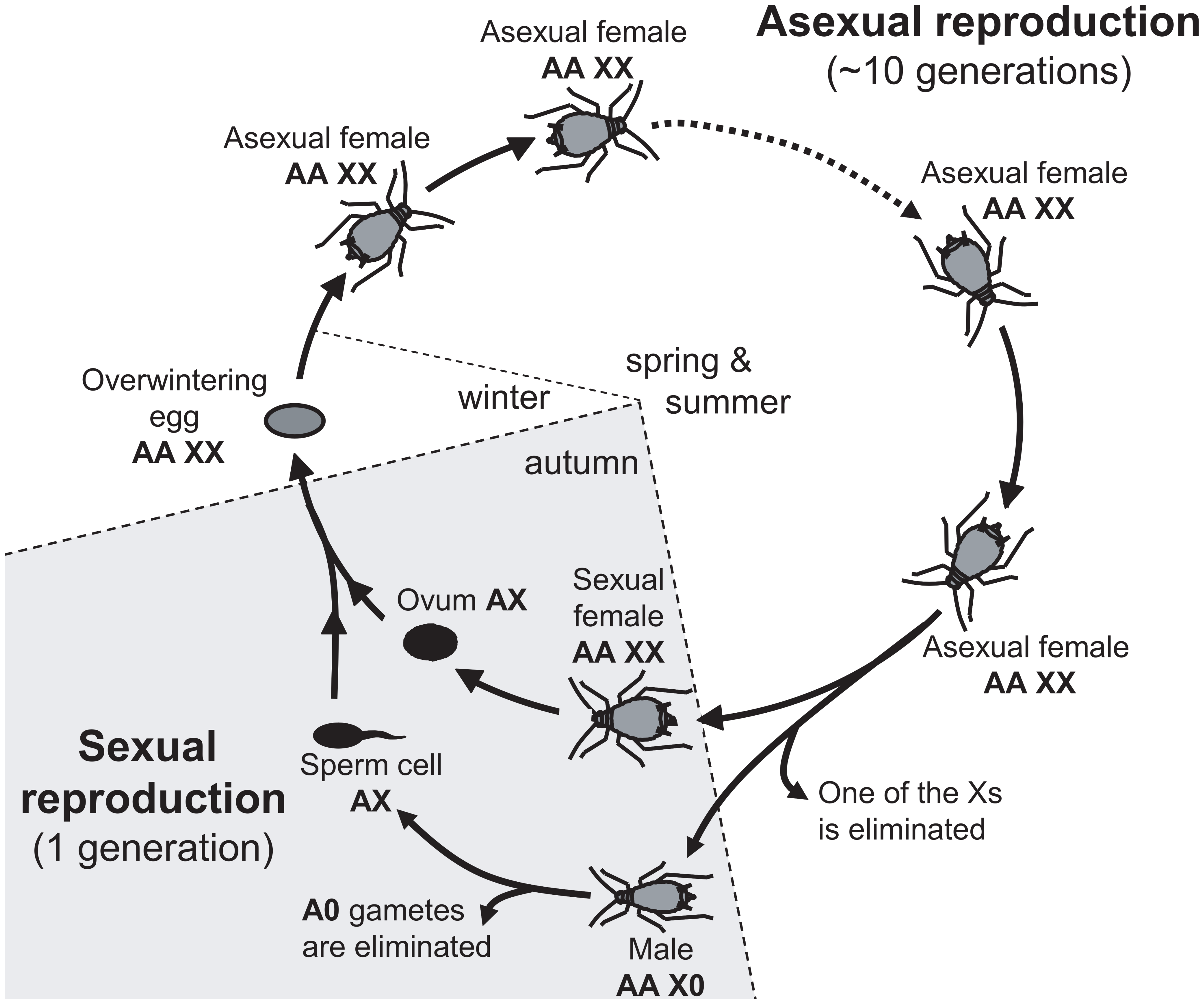 Annual life-cycle of the pea aphid and ploidy levels for autosomes (A) and sex-chromosome (X).
