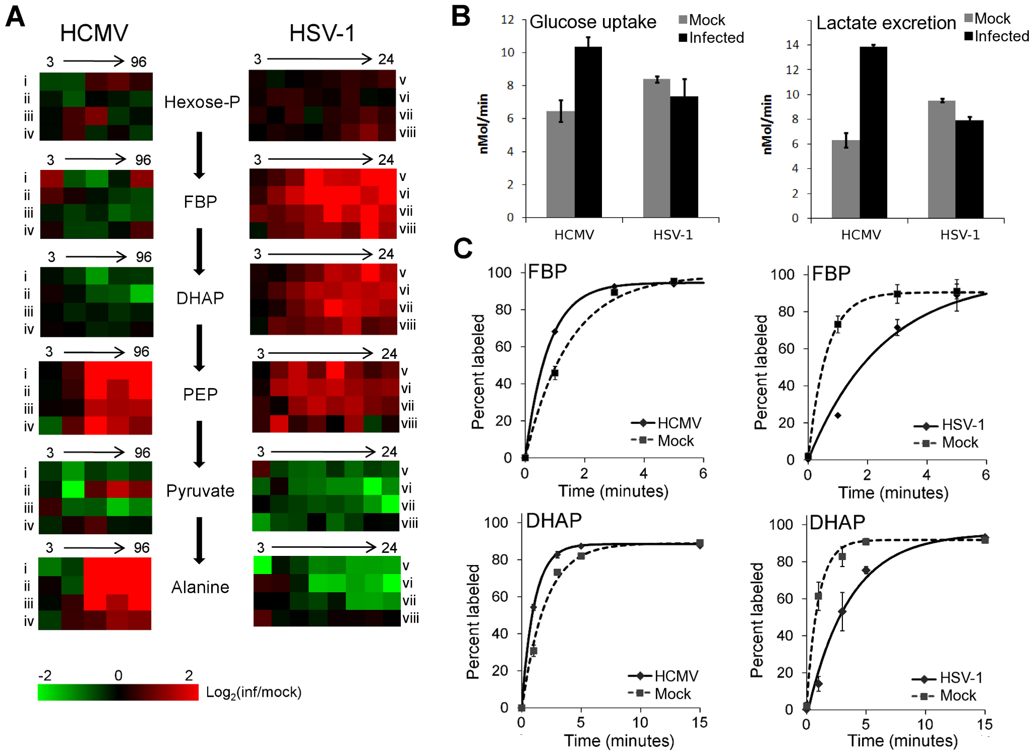 Perturbation of glycolysis by HCMV and HSV-1.