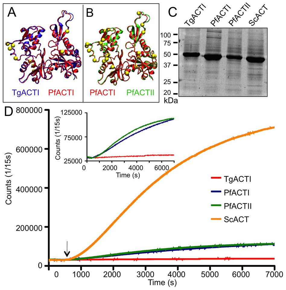 Apicomplexan actins differ in sequence and polymerization kinetics.