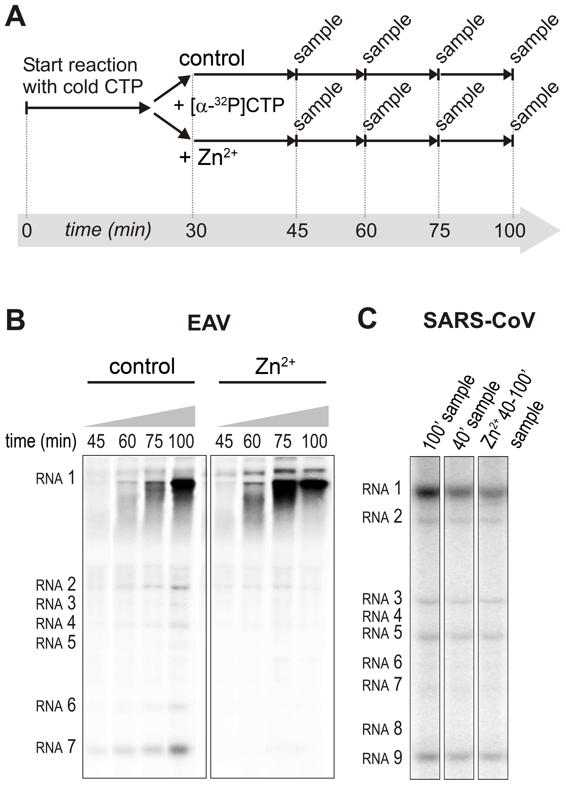 Effect of Zn<sup>2+</sup> on initiation and elongation in <i>in vitro</i> assays with isolated EAV and SARS-CoV RTCs.