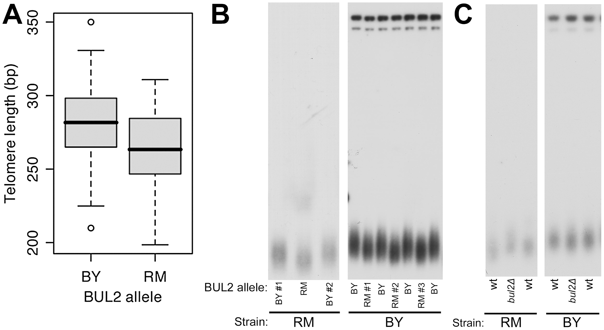 The BUL2 polymorphism is responsible for segregant telomere length phenotypes.