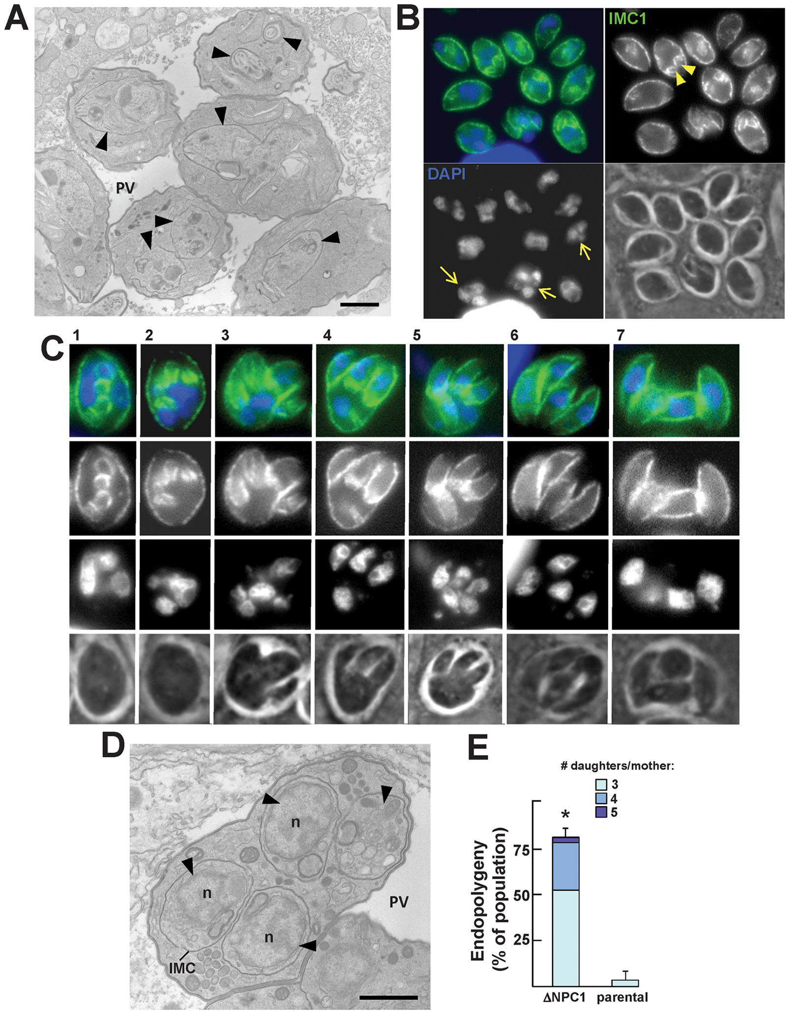 Peculiarities of replication of TgNCR1-deficient parasites.