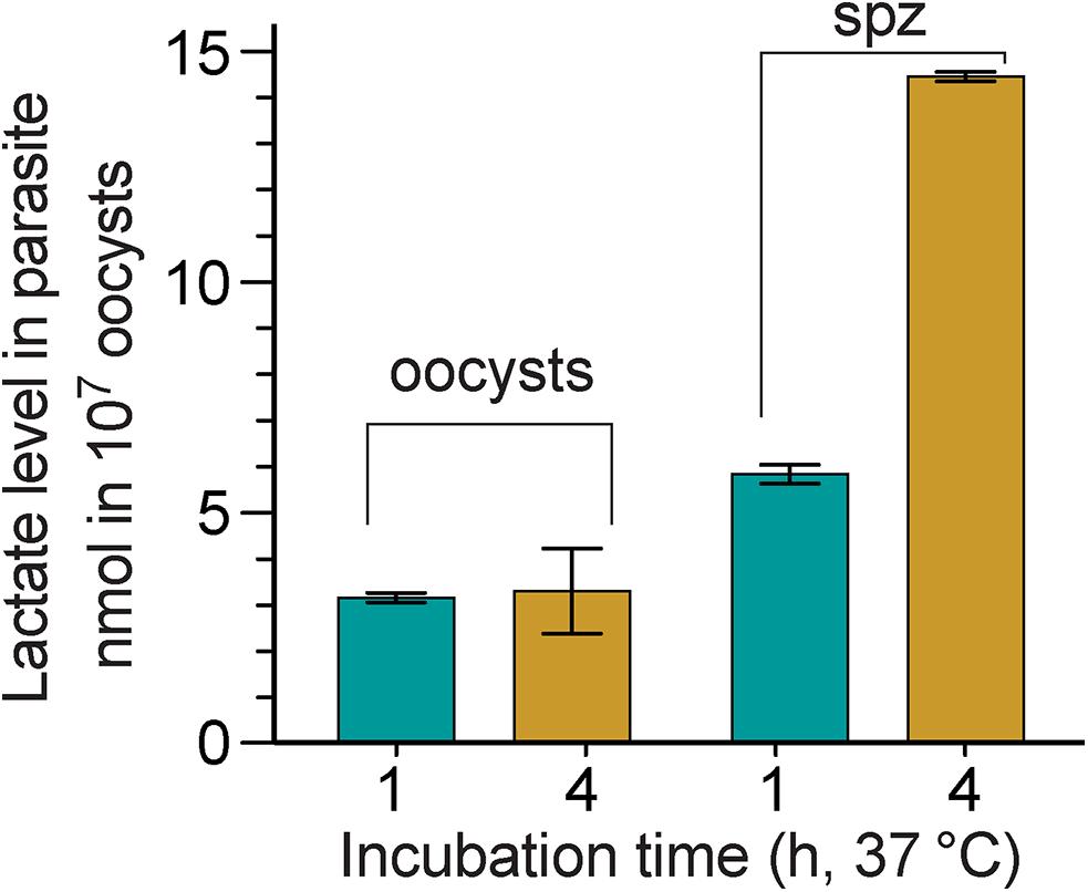 Lactate produced by <i>C</i>. <i>parvum</i> oocysts and free sporozoites.
