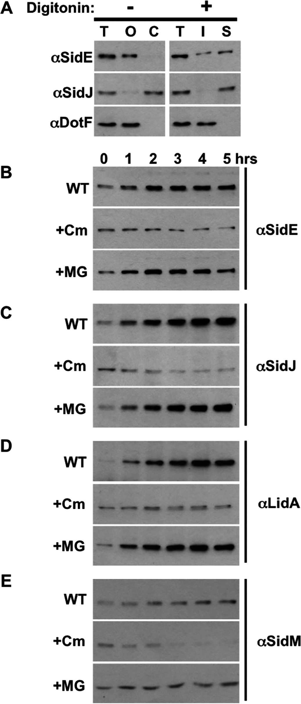 SidE proteins are not degraded during infection.
