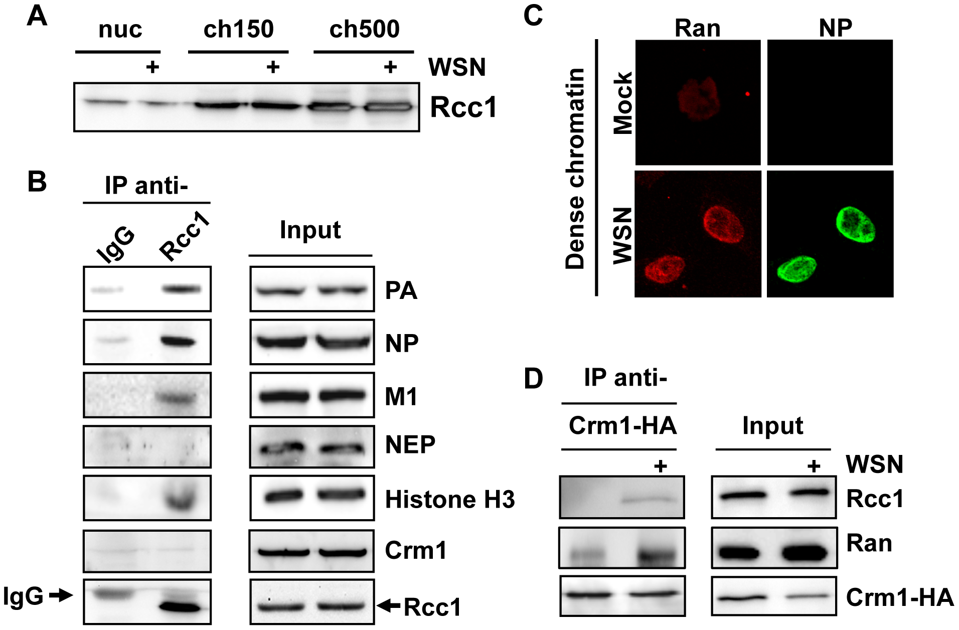 Association of Rcc1 with vRNPs and Crm1.