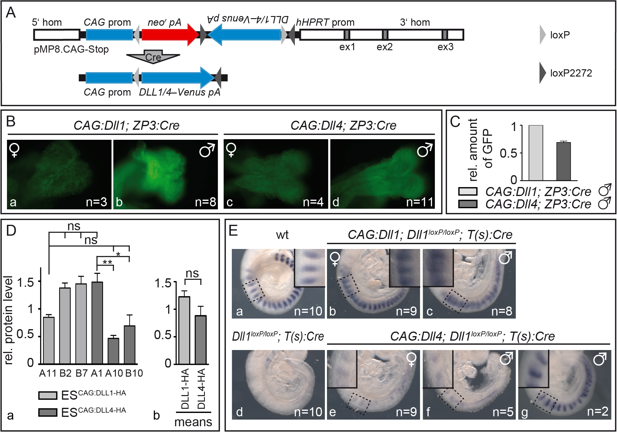 Mesodermally expressed CAG:DLL1 but not CAG:DLL4 functionally replaces endogenous DLL1 during somitogenesis.