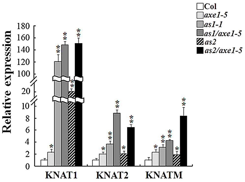 Expression of <i>KNOX</i> genes was increased in <i>axe1-5</i>, <i>as1-1</i>, <i>as2-1</i>, <i>as1-1/axe1-5</i>, and <i>as2-1/axe1-5</i> mutant plants.