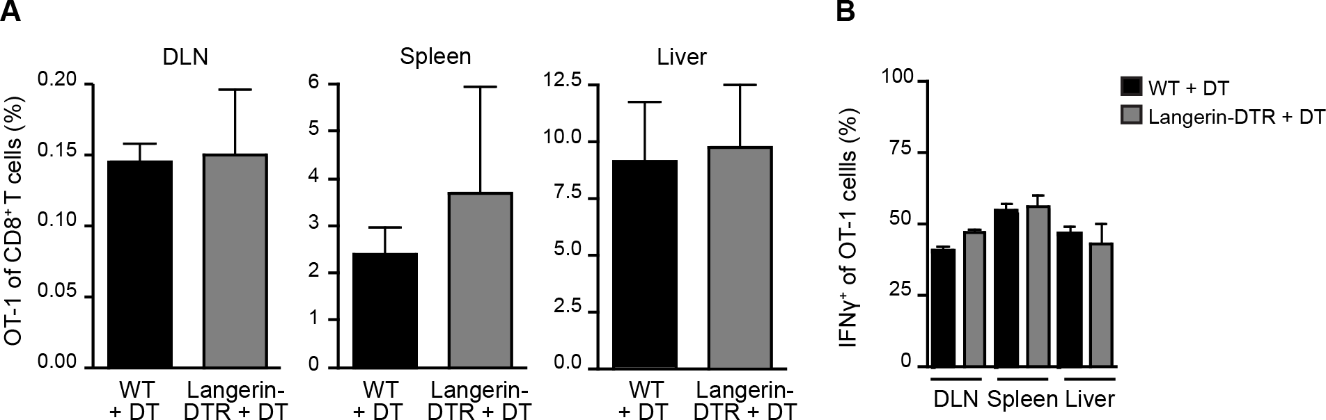 Langerhans cells and langerin<sup>+</sup> dermal DCs are dispensable for anti-CS CD8<sup>+</sup> T cell responses.