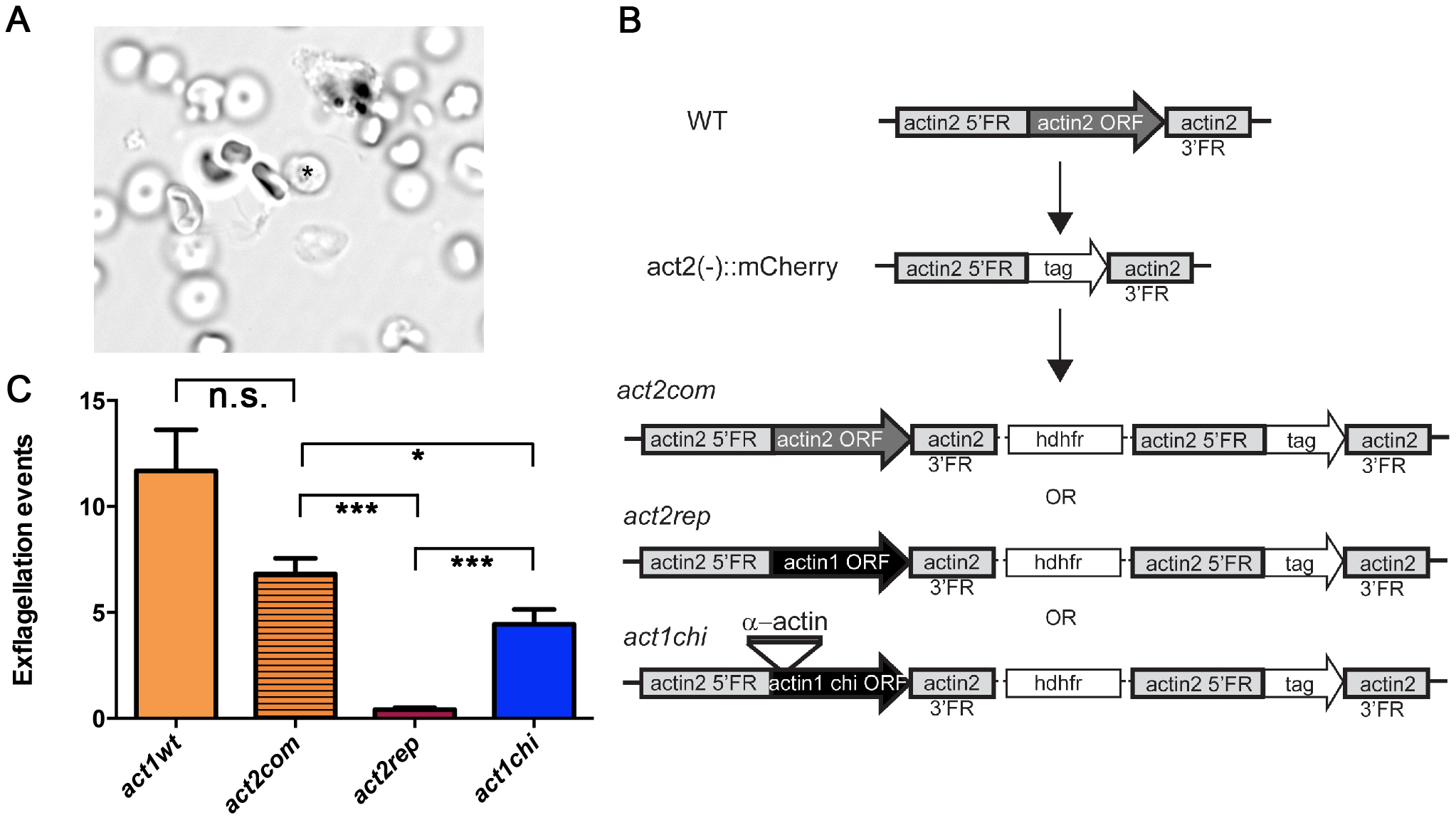 The D-loop chimera but not wild-type actin I rescues the phenotype of the <i>actin2</i> deletion mutant.