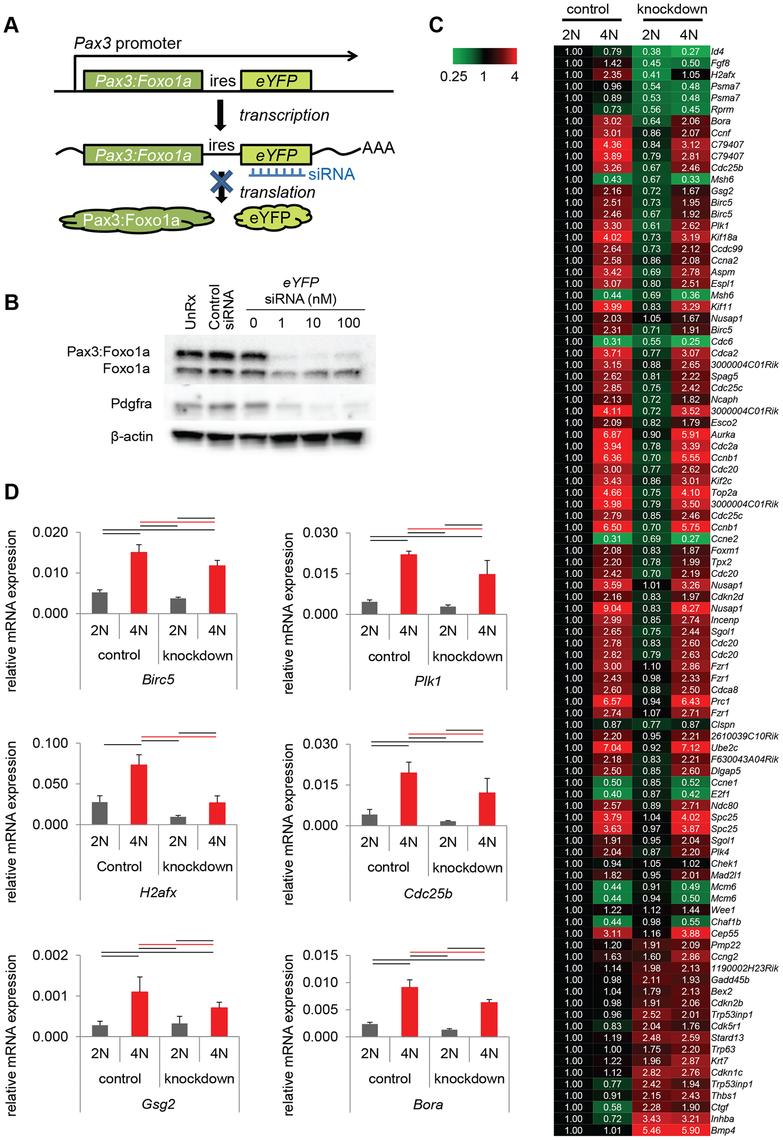 Pax3:Foxo1a induces G<sub>2</sub>/M checkpoint adaptation gene in G<sub>2</sub>/M.