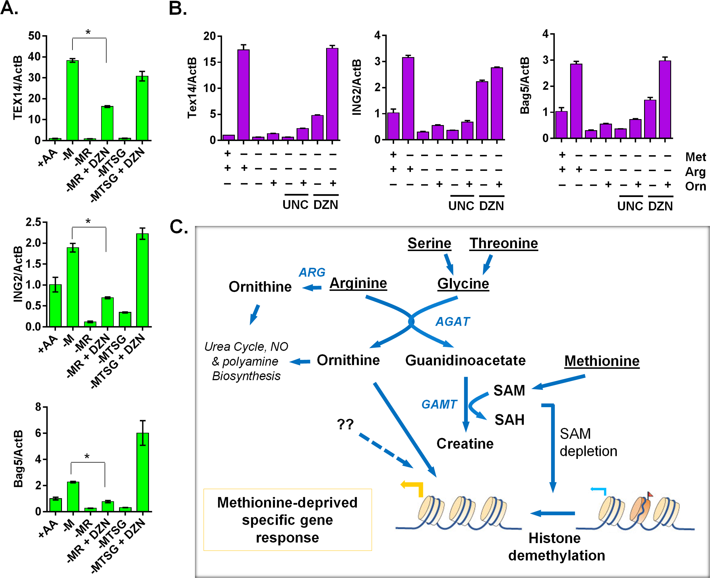 The ornithine-mediated signaling is required for the complete induction of the methionine-deprived specific gene response.