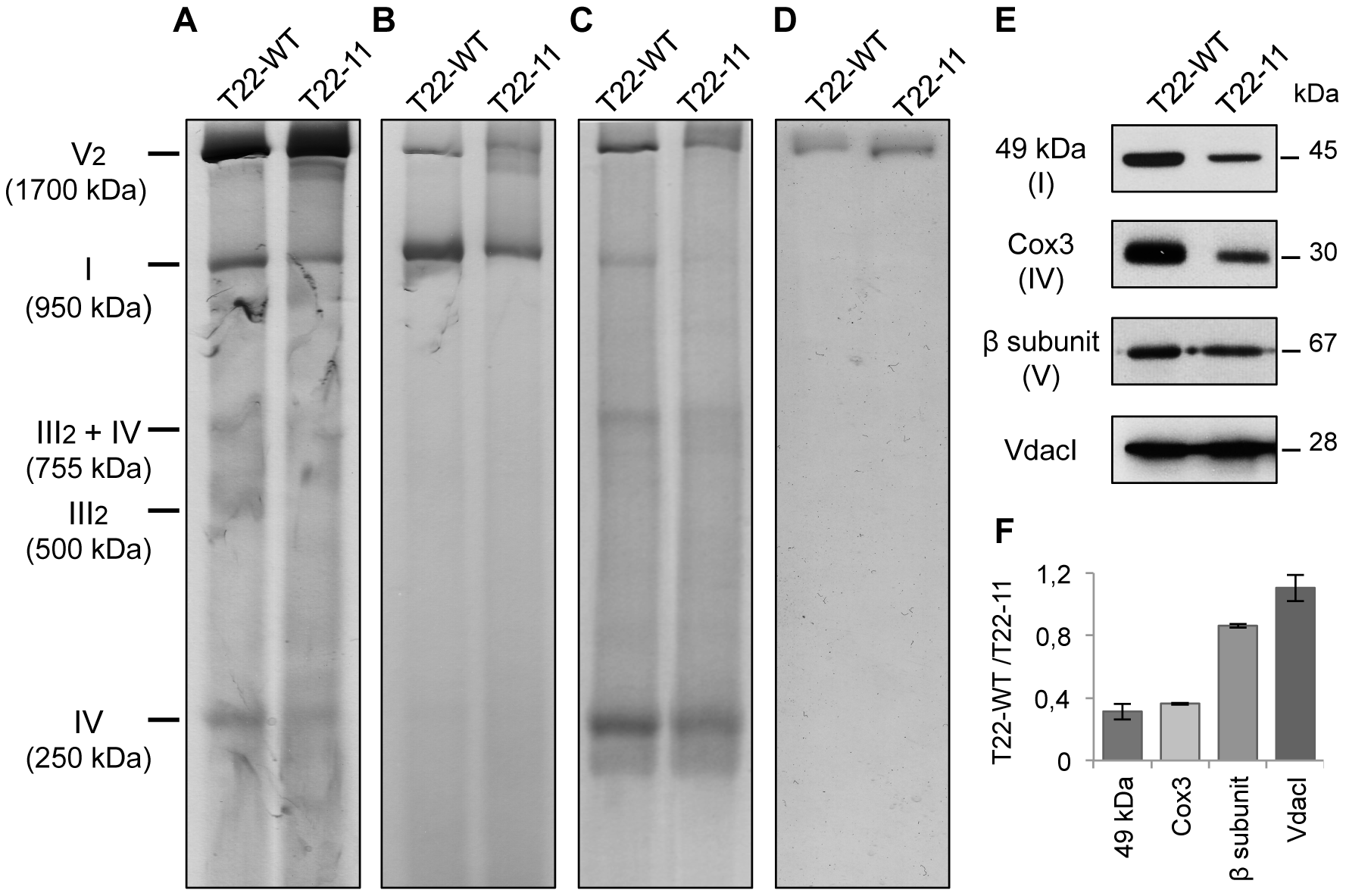 Analysis of mitochondrial complexes of T22-11 transformant.