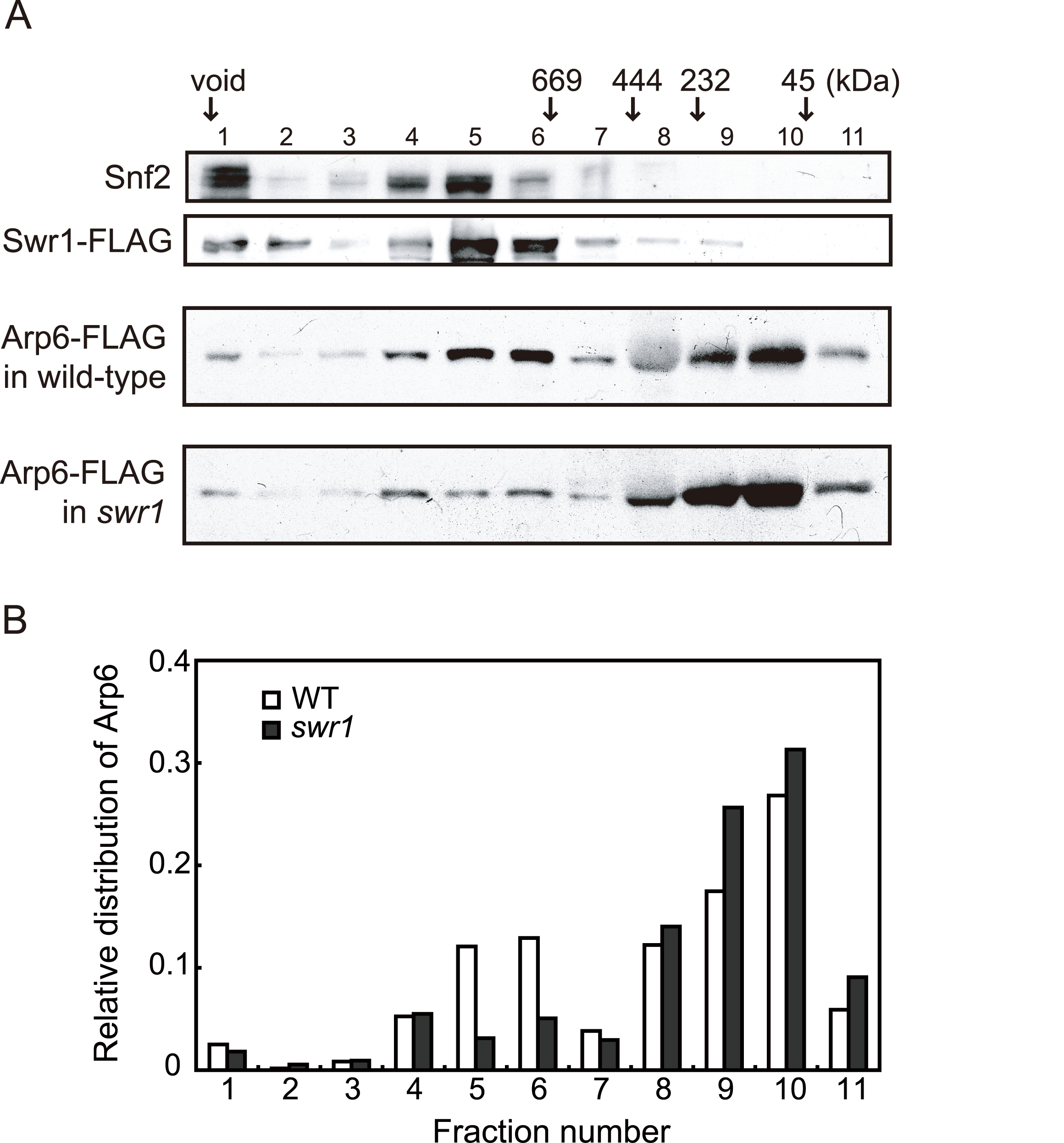 Sizing column Superose6 analysis of Arp6-complexes.