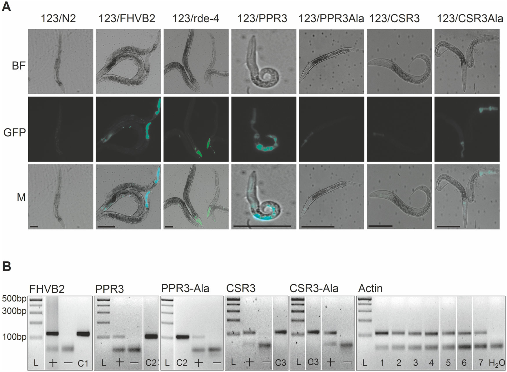 Suppression of antiviral RNAi by PPR3 in <i>C</i>. <i>elegans</i>.