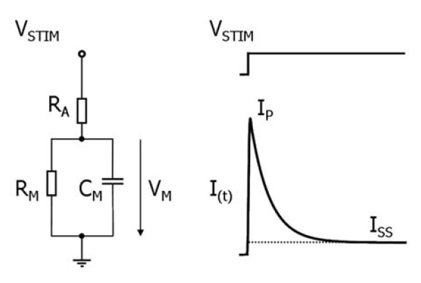 Fig. 1: The equivalent scheme of the cell recording configuration (left), and the voltage and current used for analysis (right). VSTIM – voltage stimulus, RA – access resistance, VM – voltage on the cell membrane, RM – membrane resistance, CM – membrane capacitance, I(t) – membrane current, ISS – steady state current, IP – peak current.