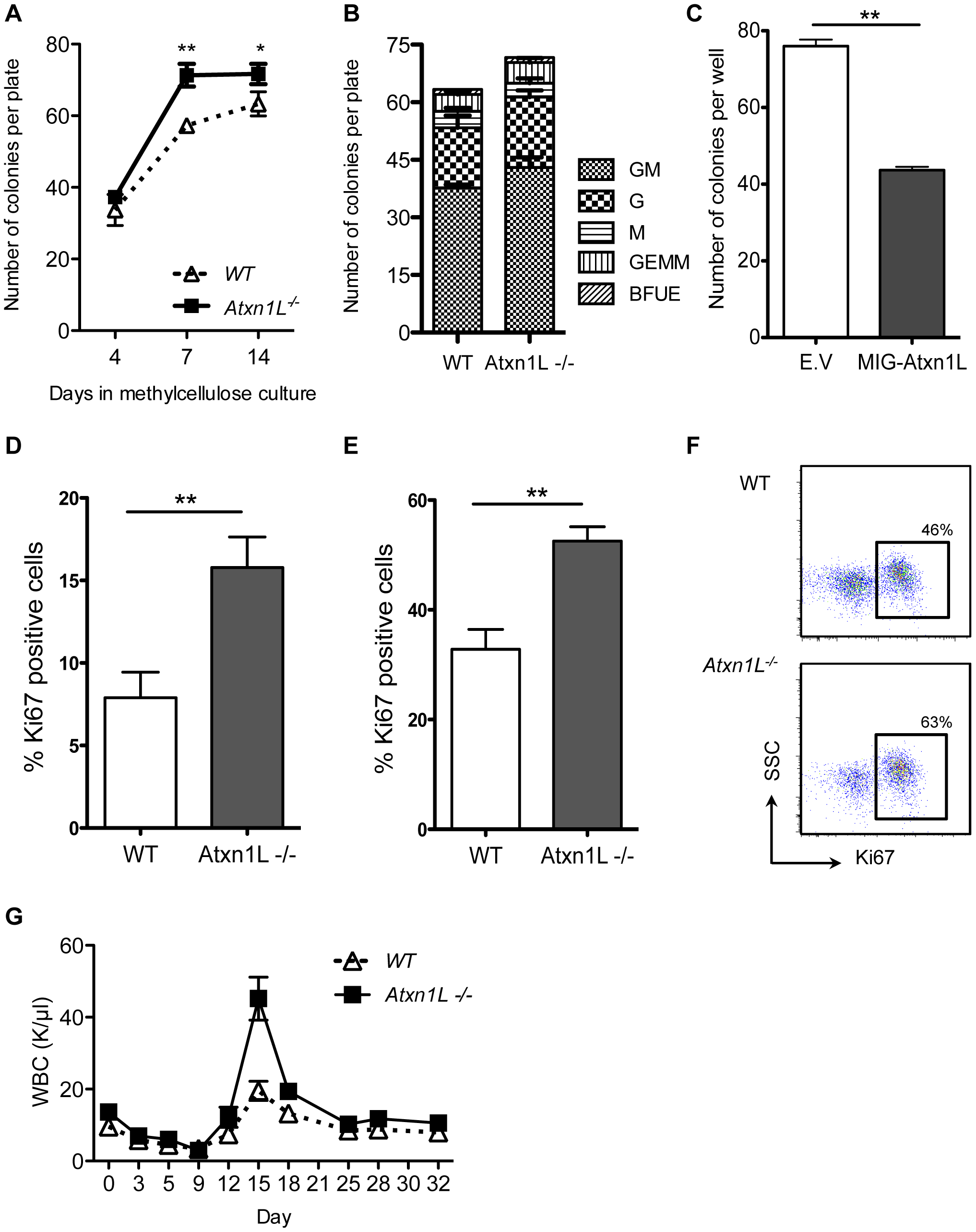 Loss of <i>Atxn1L</i> results in more proliferative hematopoietic stem and progenitor cells.
