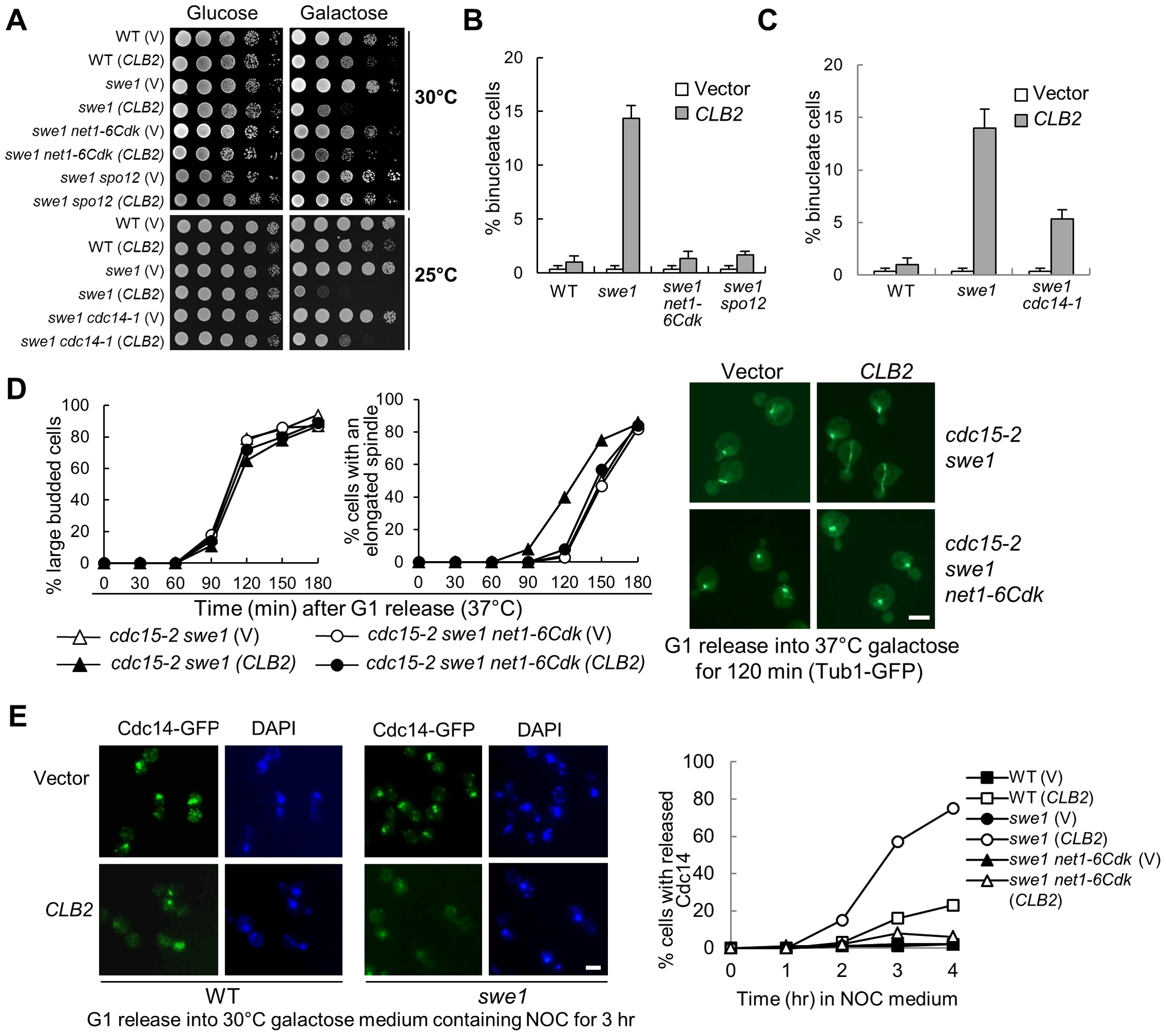 Mitotic CDK promotes spindle elongation through FEAR pathway.