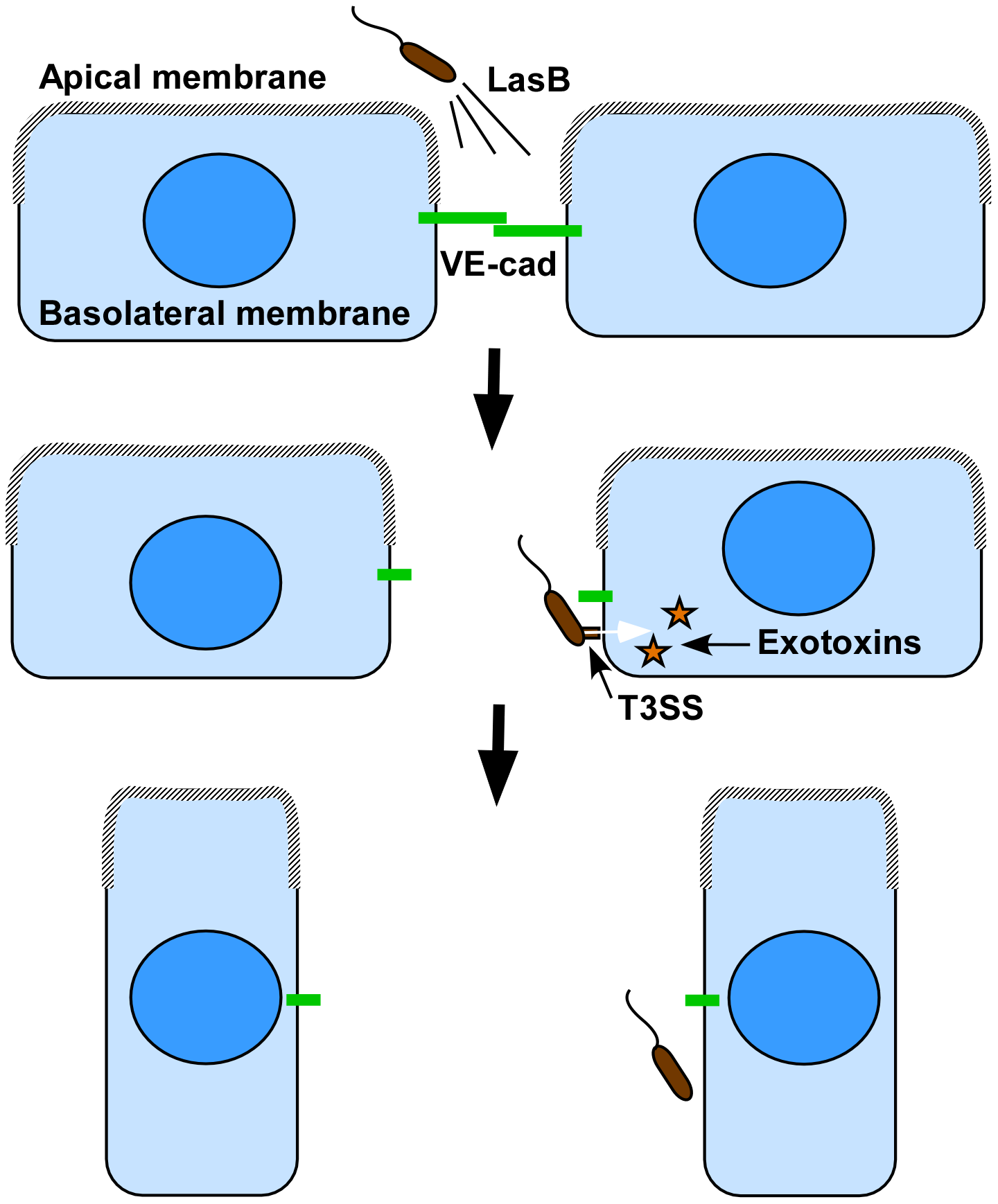 Proposed cooperation model between <i>P. aeruginosa</i>'s T2SS and T3SS.