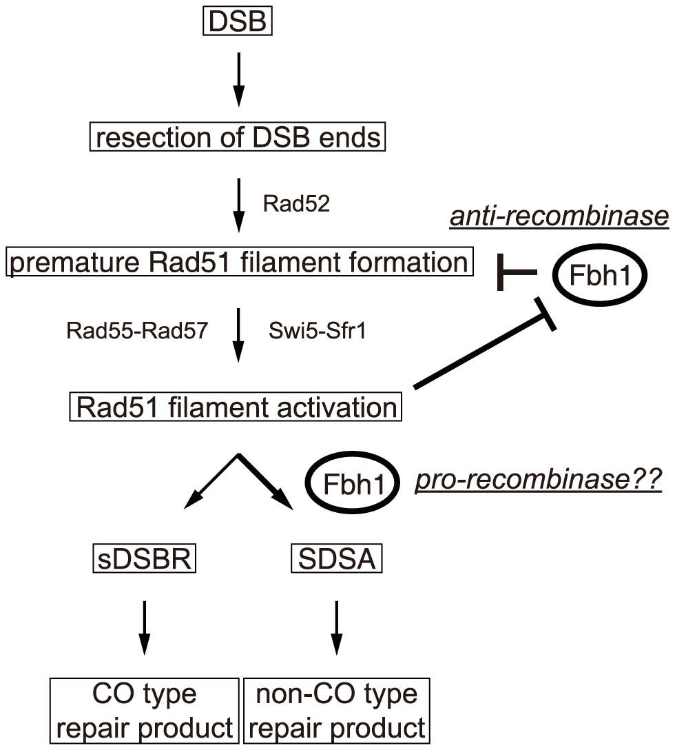 A model for regulation of HRR by Fbh1.