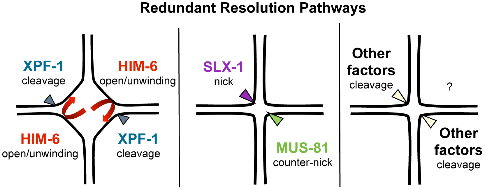 Model of redundant resolution pathways.