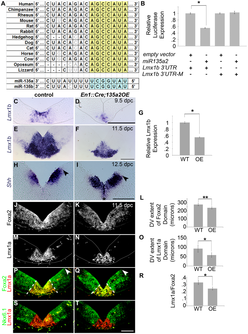 Increasing <i>miR135a2</i> levels reduces mDA progenitor domain size and alters allocation of mDA progenitors.