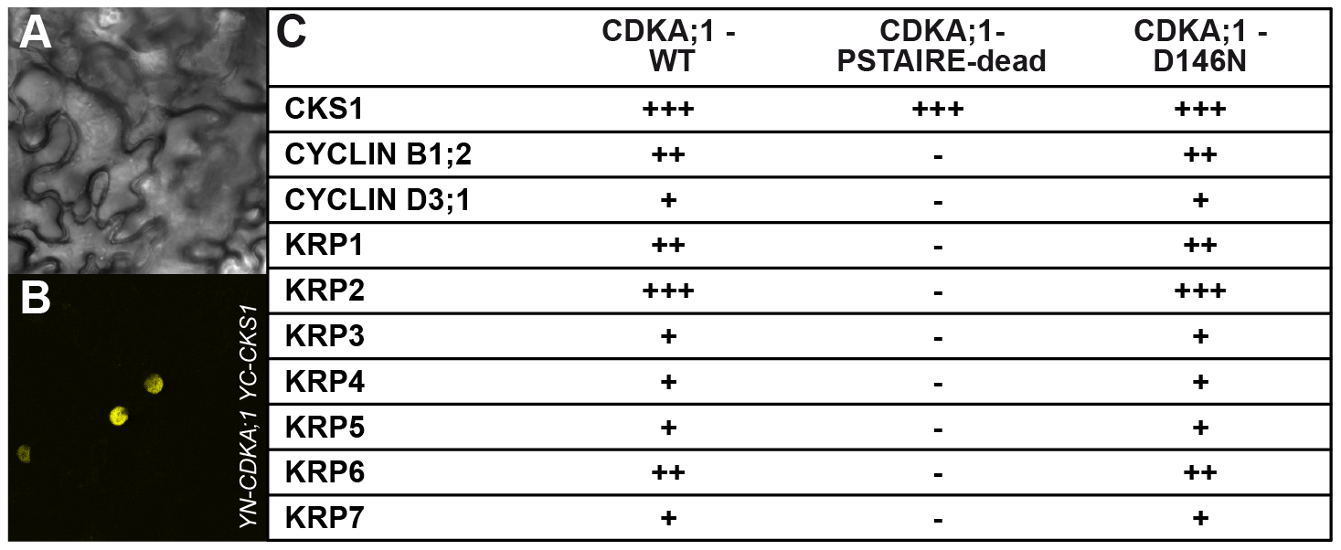 Interaction assays of dominant negative versus wild-type CDKA;1 variants.