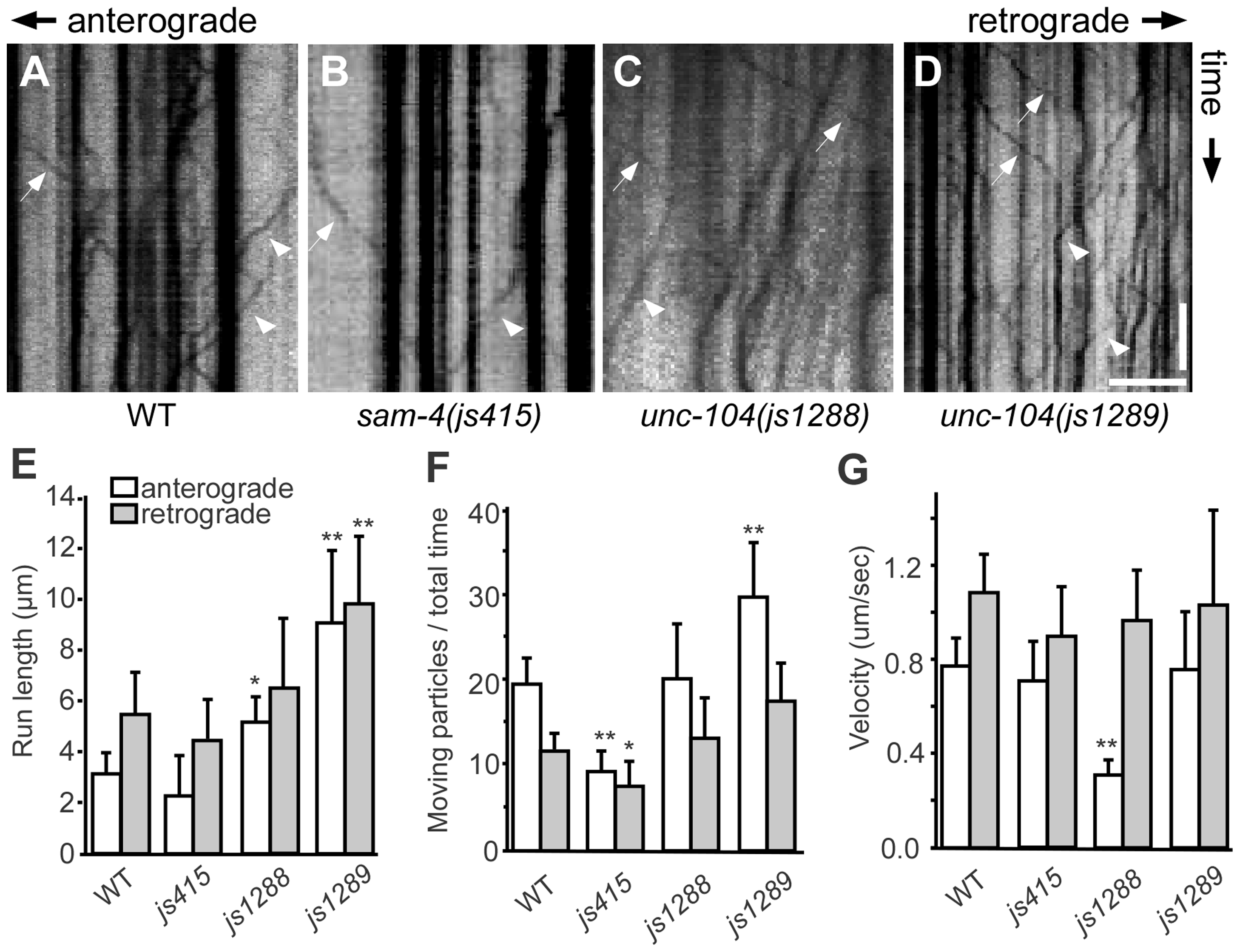 Live imaging of GFP-RAB-3 trafficking in <i>unc-104</i> mutants.