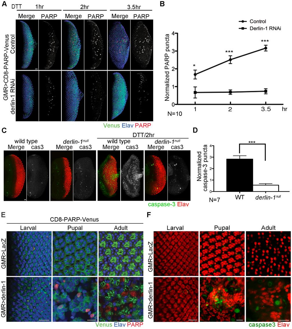Derlin-1 involves in ER stress-induced caspase activation.
