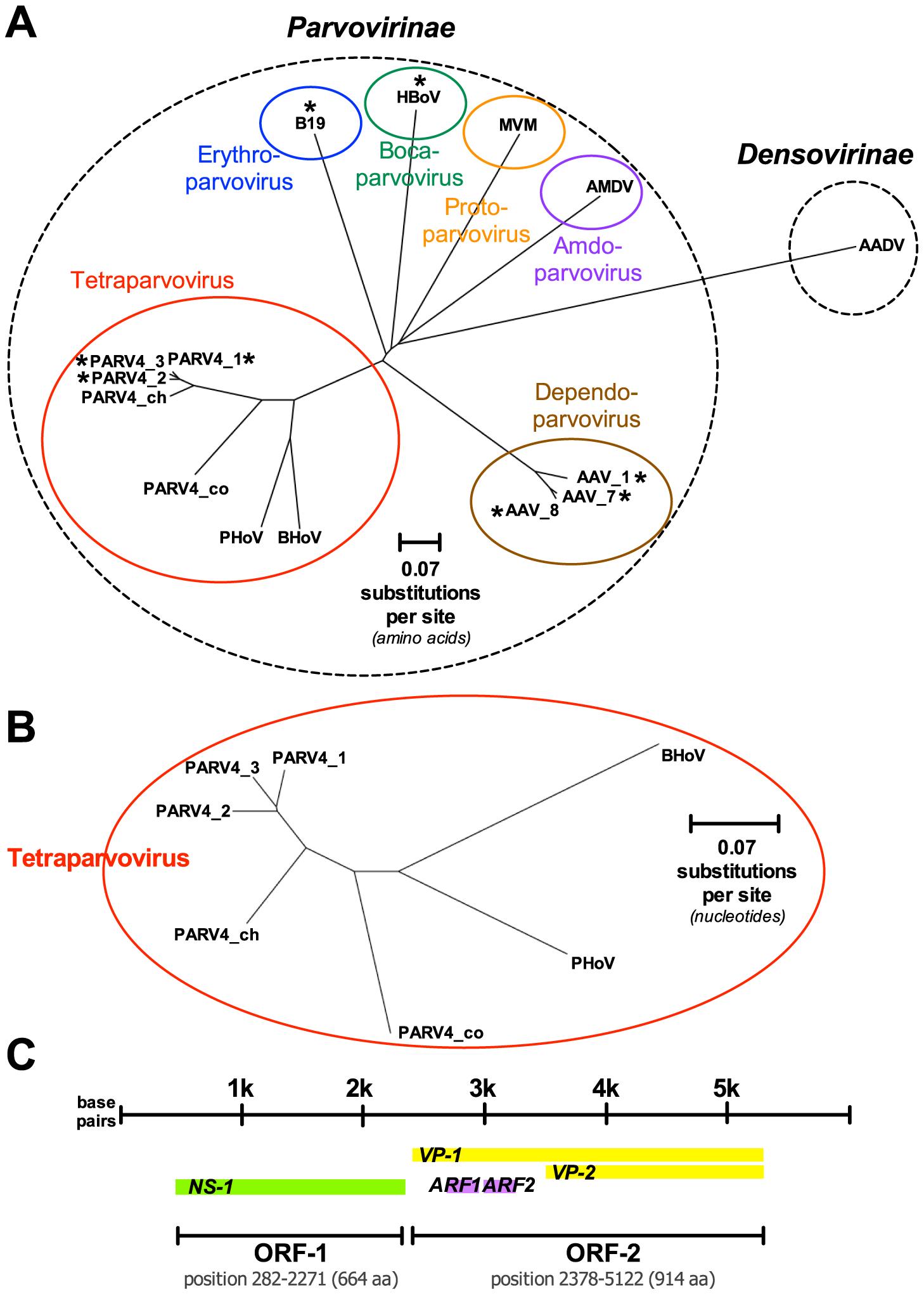 Genetics and genomics of PARV4.
