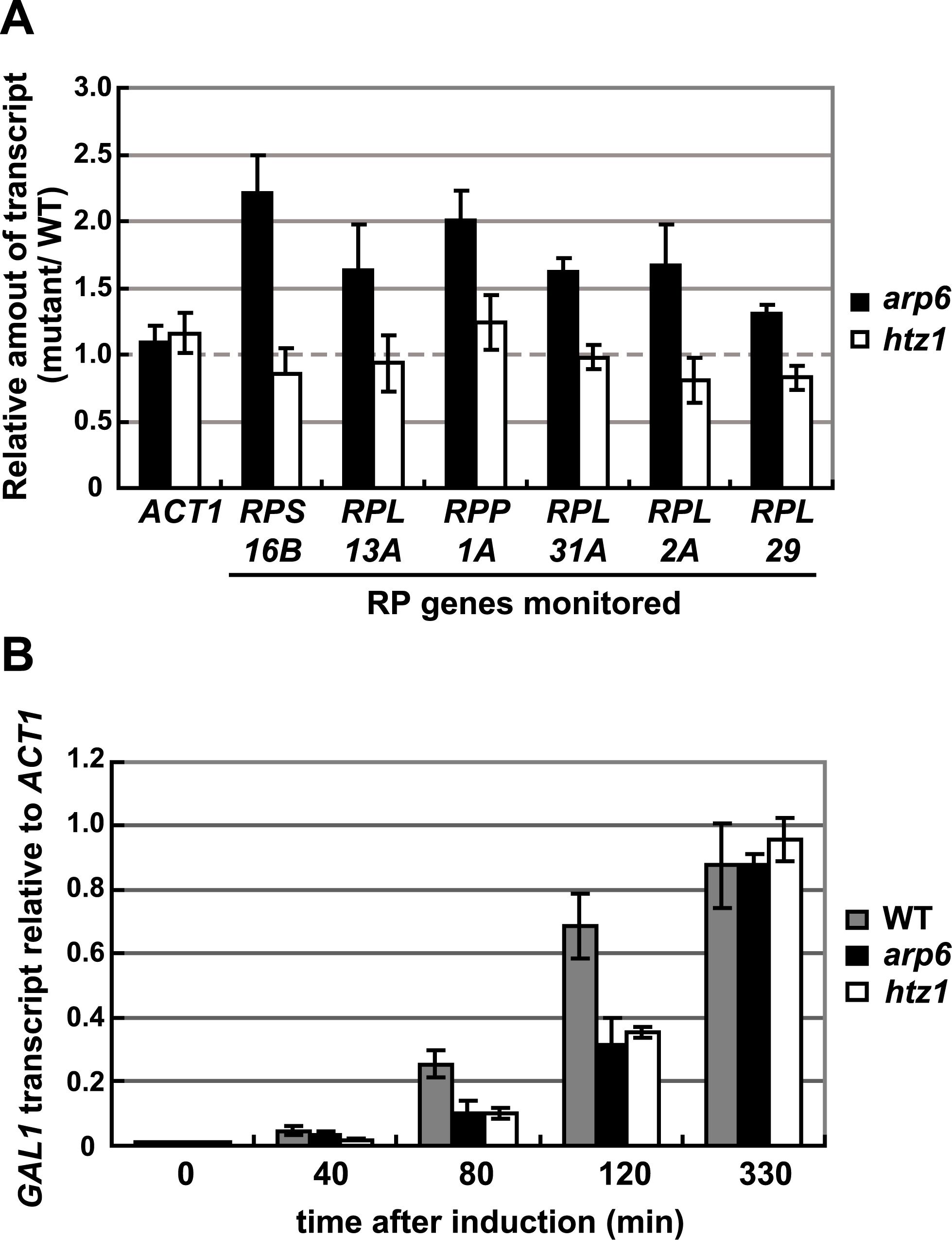 Quantitative analysis of transcripts in cells lacking Arp6 (<i>arp6</i>) and H2A.Z <i>(htz1</i>) using RT–PCR.