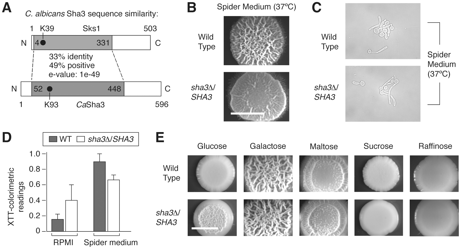 The <i>SKS1</i> ortholog <i>SHA3</i> is required for wild-type colony morphology in Spider media and in glucose-containing media in <i>Candida albicans</i>.