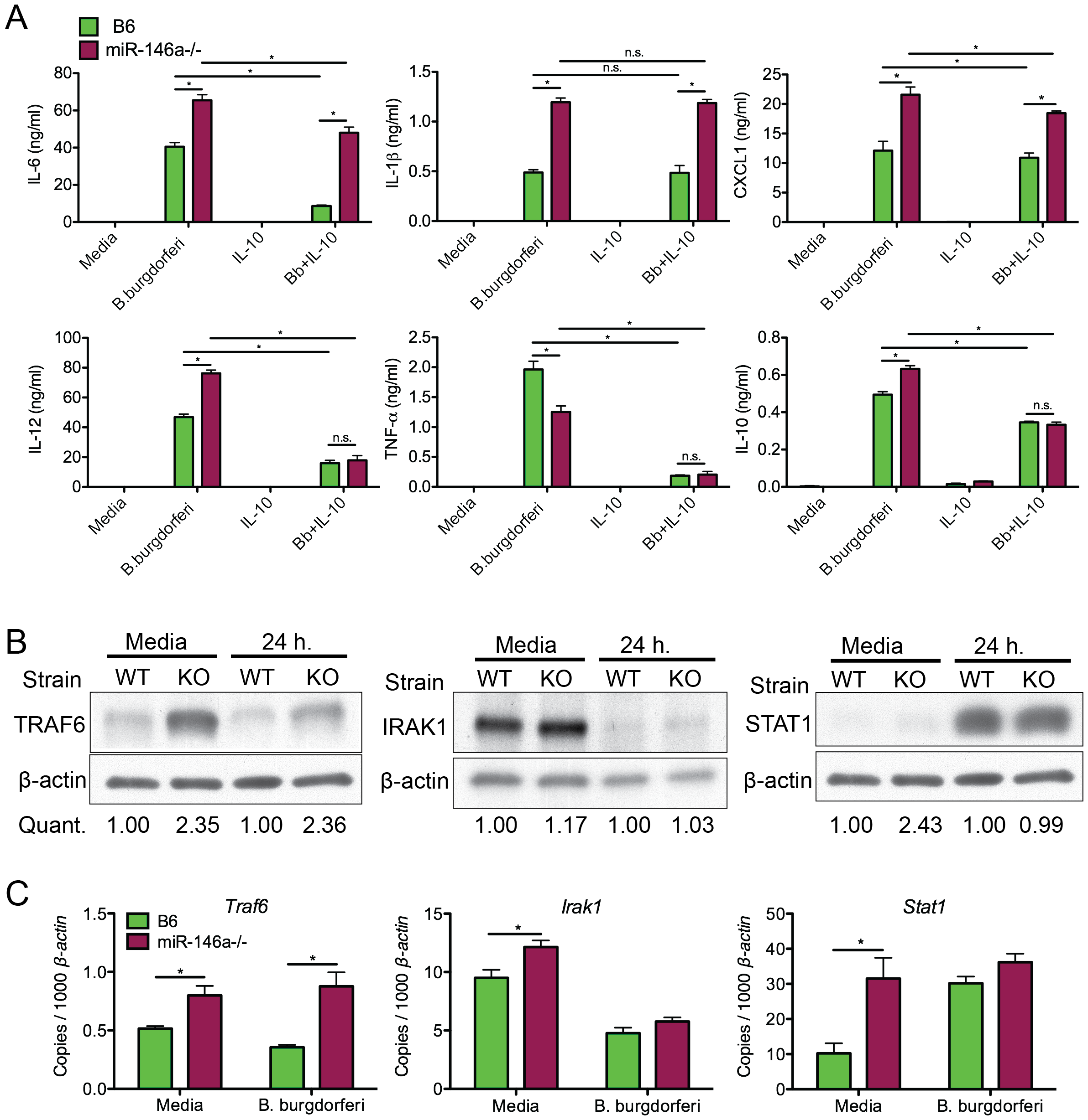 Bone marrow-derived macrophages from B6 miR-146a<sup>−/−</sup> mice are hyper-responsive to <i>B. burgdorferi</i> and have elevated levels of TRAF6.